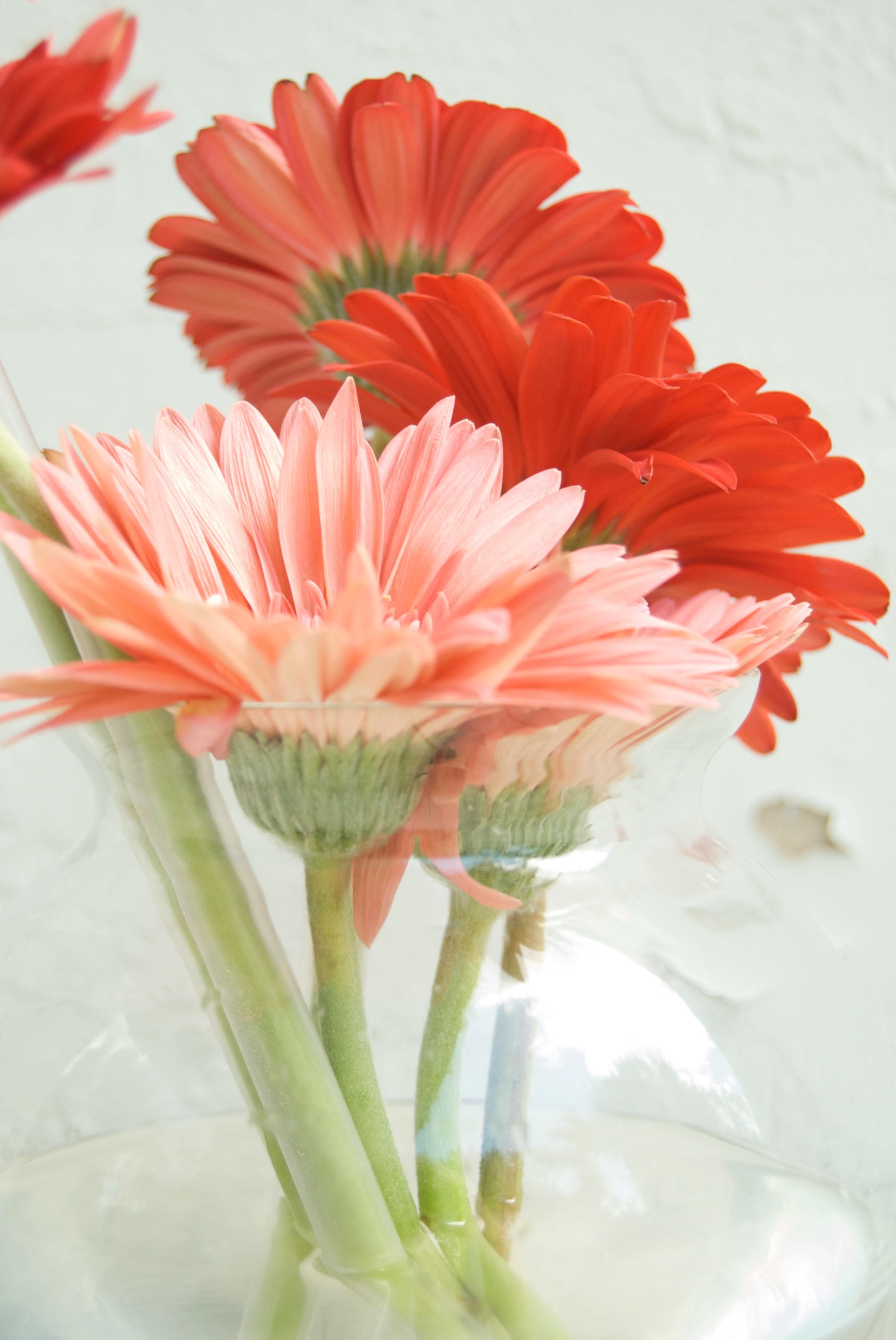 Fotos gratis flor p talo gerbera florister a planta - Cortar hierba alta ...