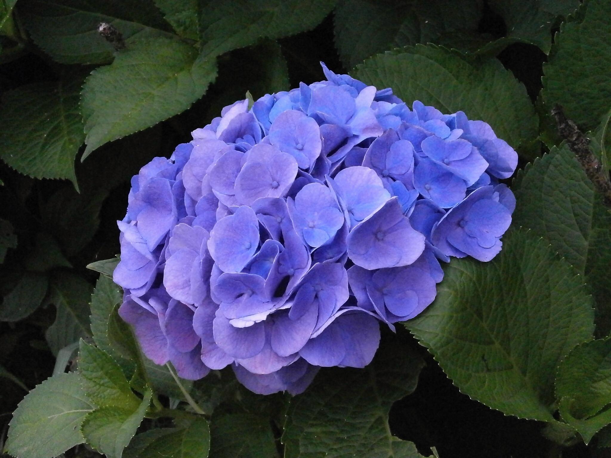 fotos gratis   flor  p u00e9talo  hortensia  flores moradas  flores de verano  flores azules  planta