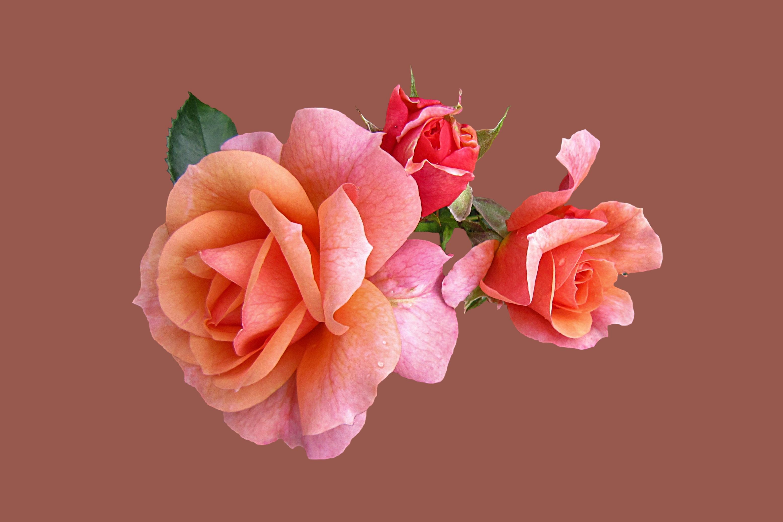 Fotos gratis flor p talo aislado rosado flores - Cortar hierba alta ...