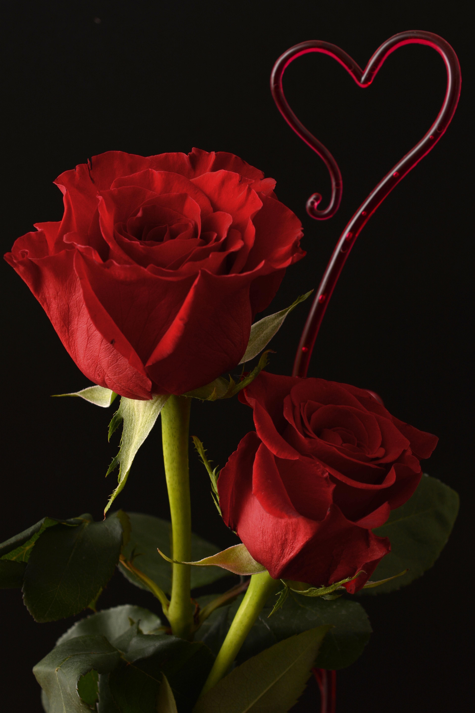 Gambar Menanam Daun Bunga Cinta Jantung Percintaan Berwarna Merah Muda Flora Hari Pernikahan Bunga Bunga Budidaya Bunga Fotografi Makro Hari Valentine Tanaman Berbunga Mawar Taman Keluarga Mawar Mawar Mawar Merah Buket Bunga