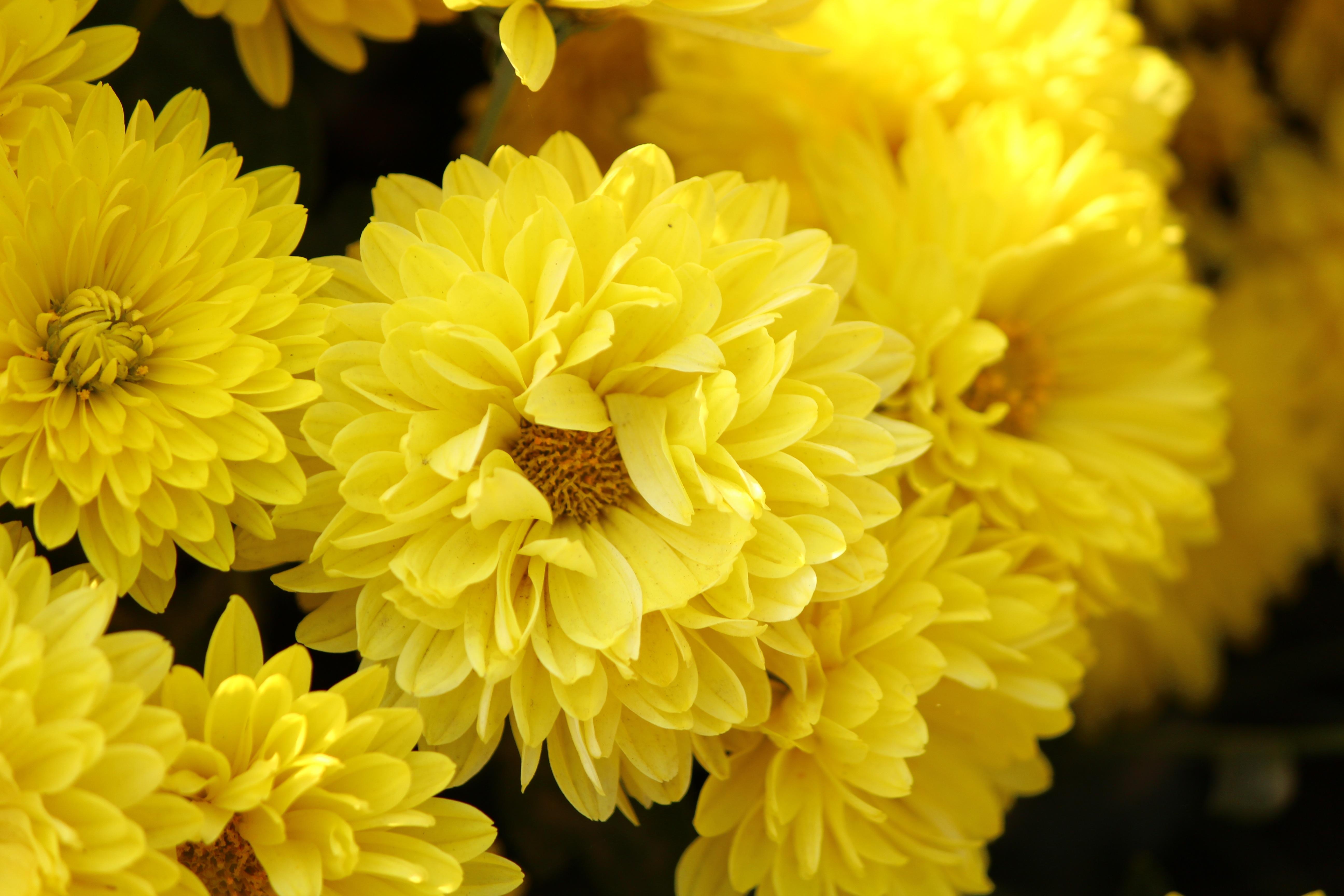Картинки открытки, картинки хризантемами