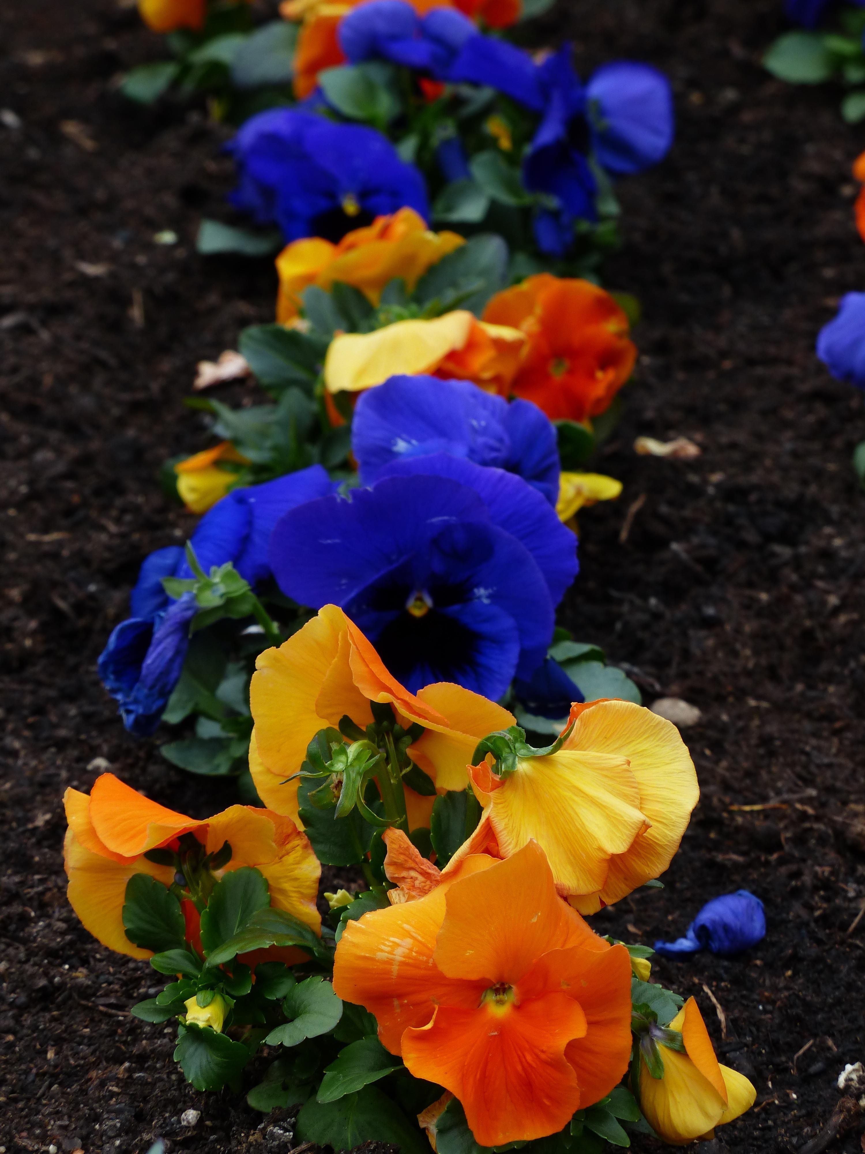 Images Gratuites Fleur Petale Orange Botanique Bleu Jaune
