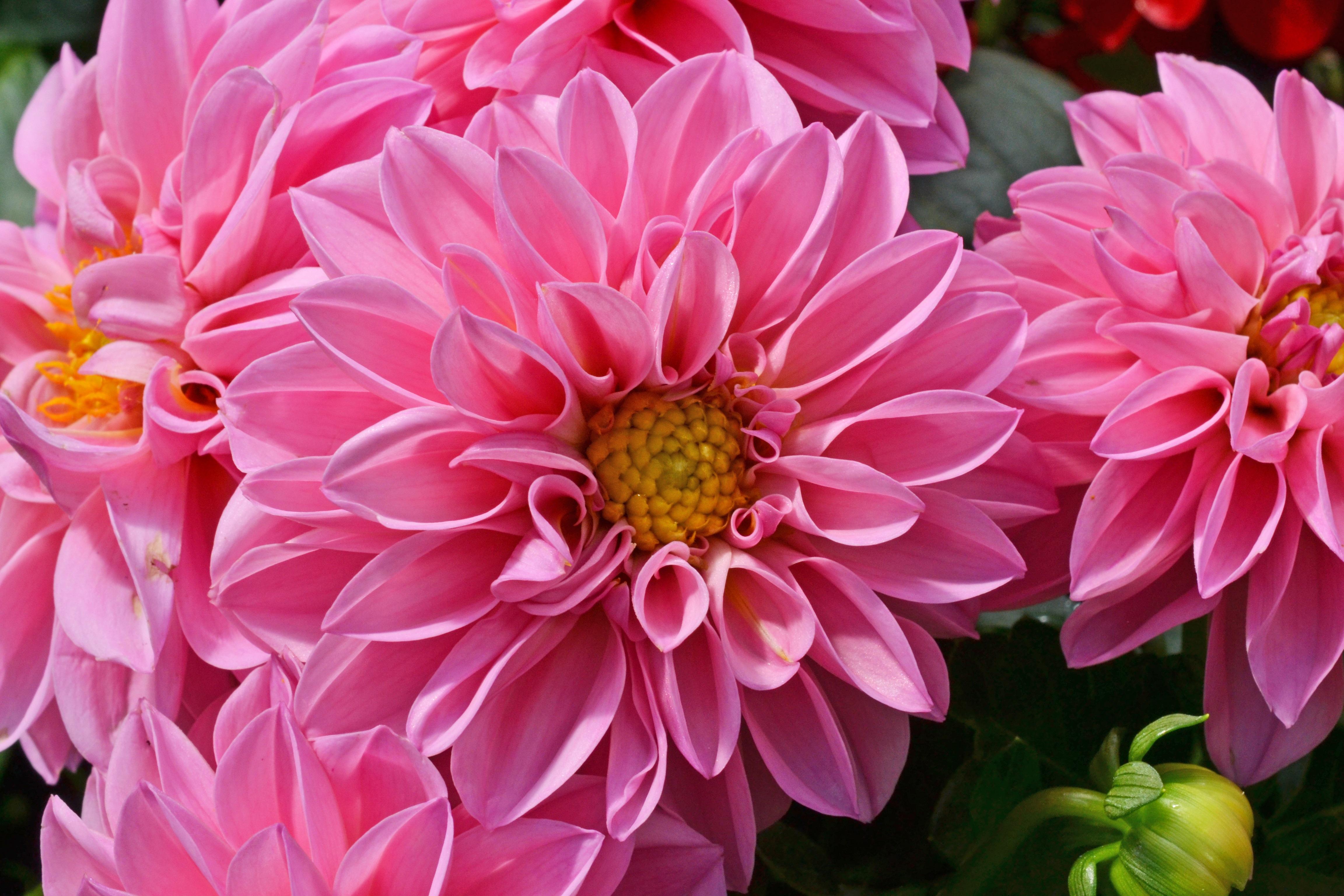 Images Gratuites Petale Dahlia Fleur Rose Materiaux