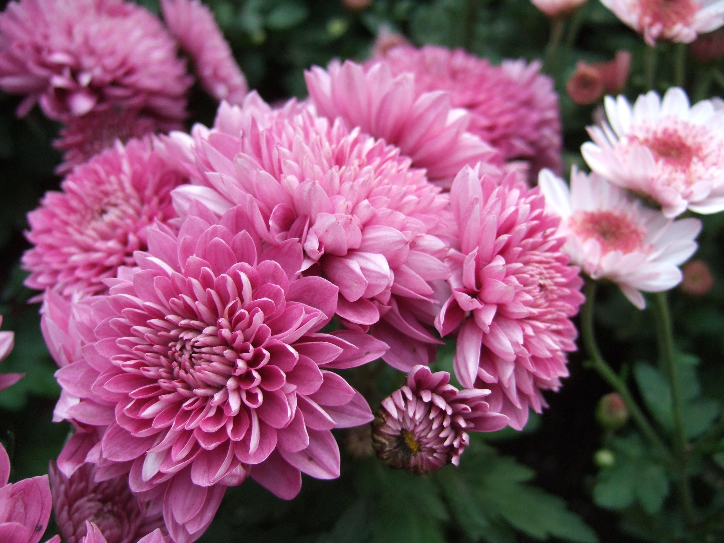 Images gratuites fleur p tale rose flore for Fleurs de fleuriste