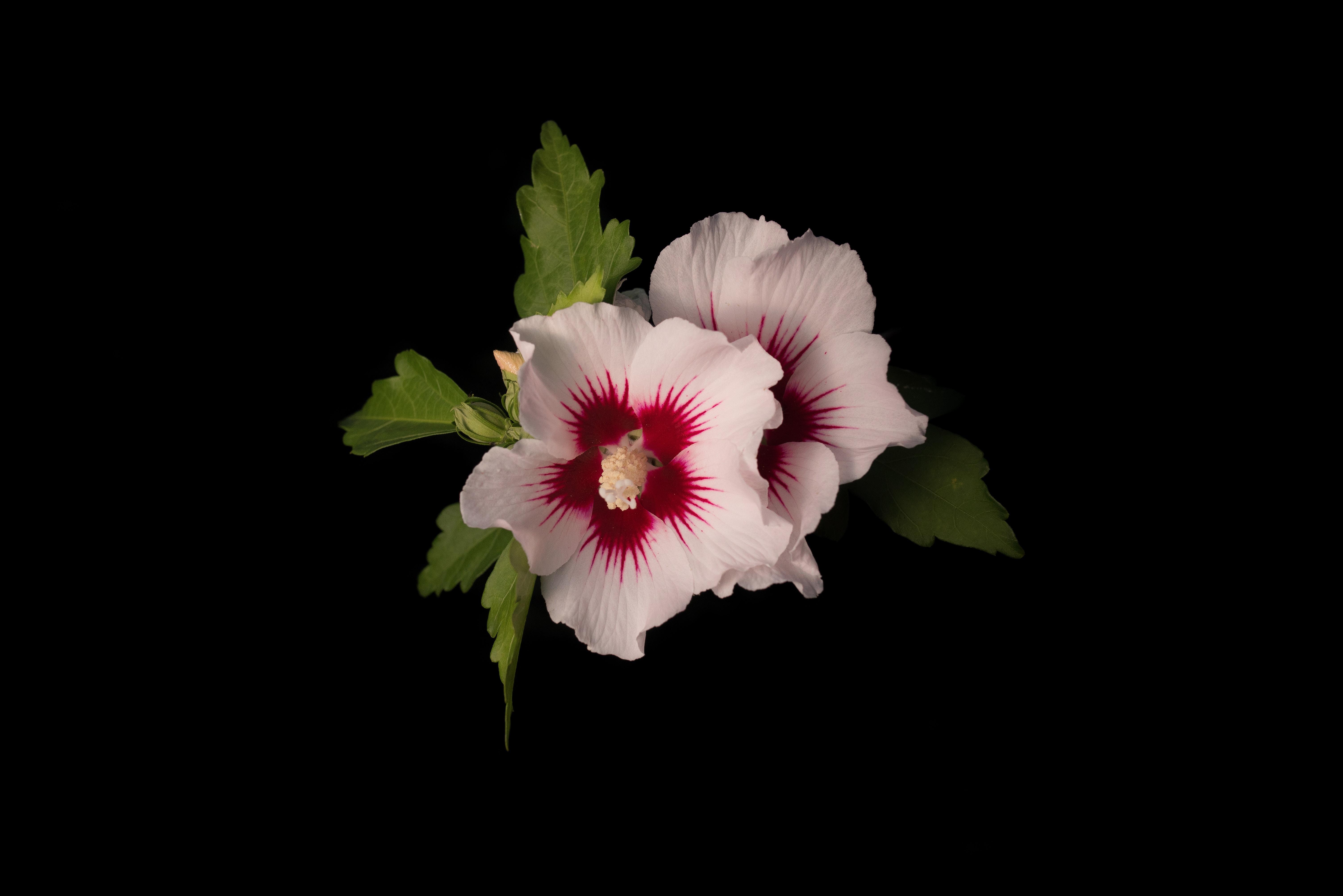 Free Images Flower Petal Pink Flora Malvales Flowering Plant