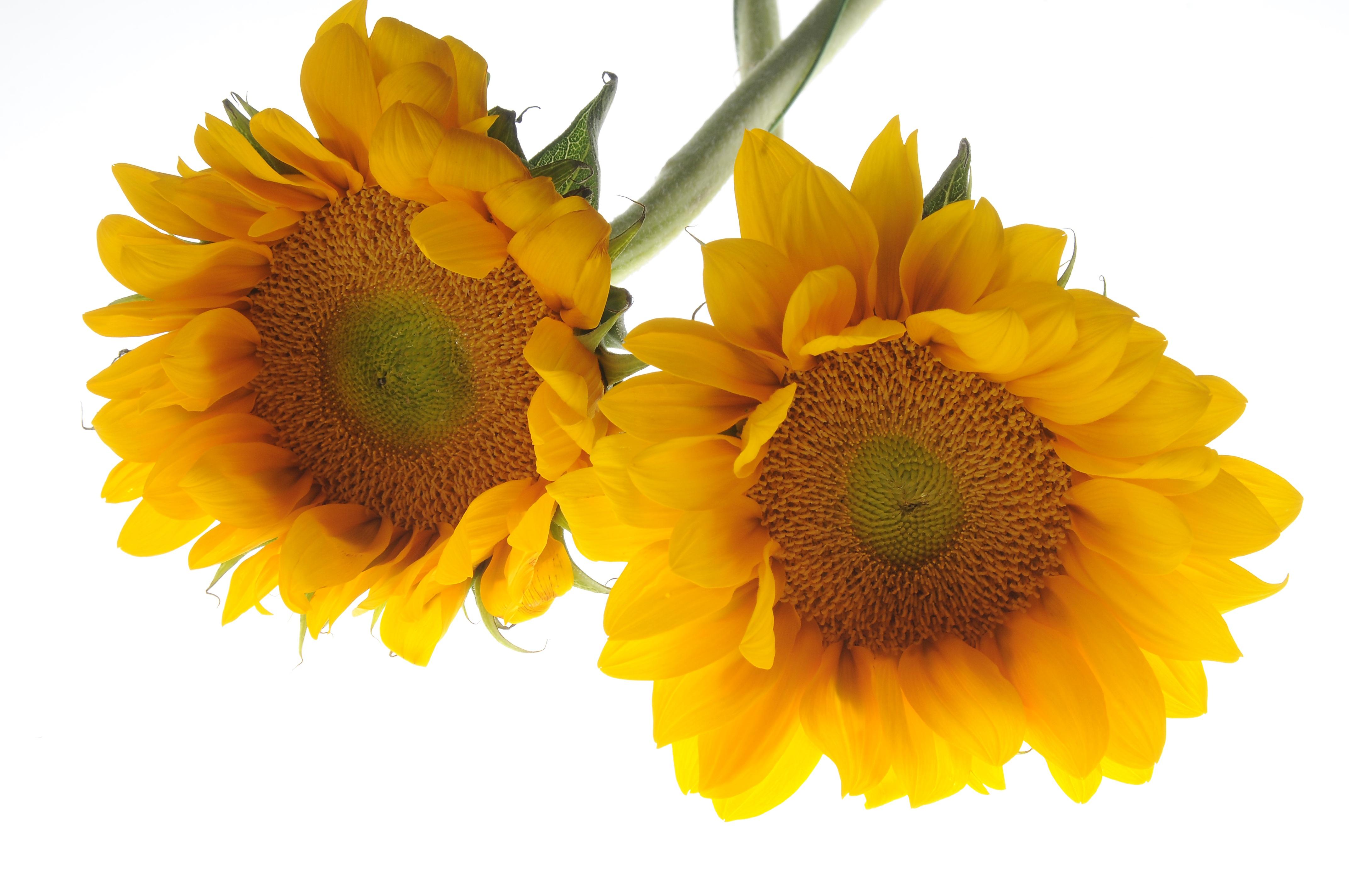 Free Images : petal, produce, yellow, vegetarian food ...