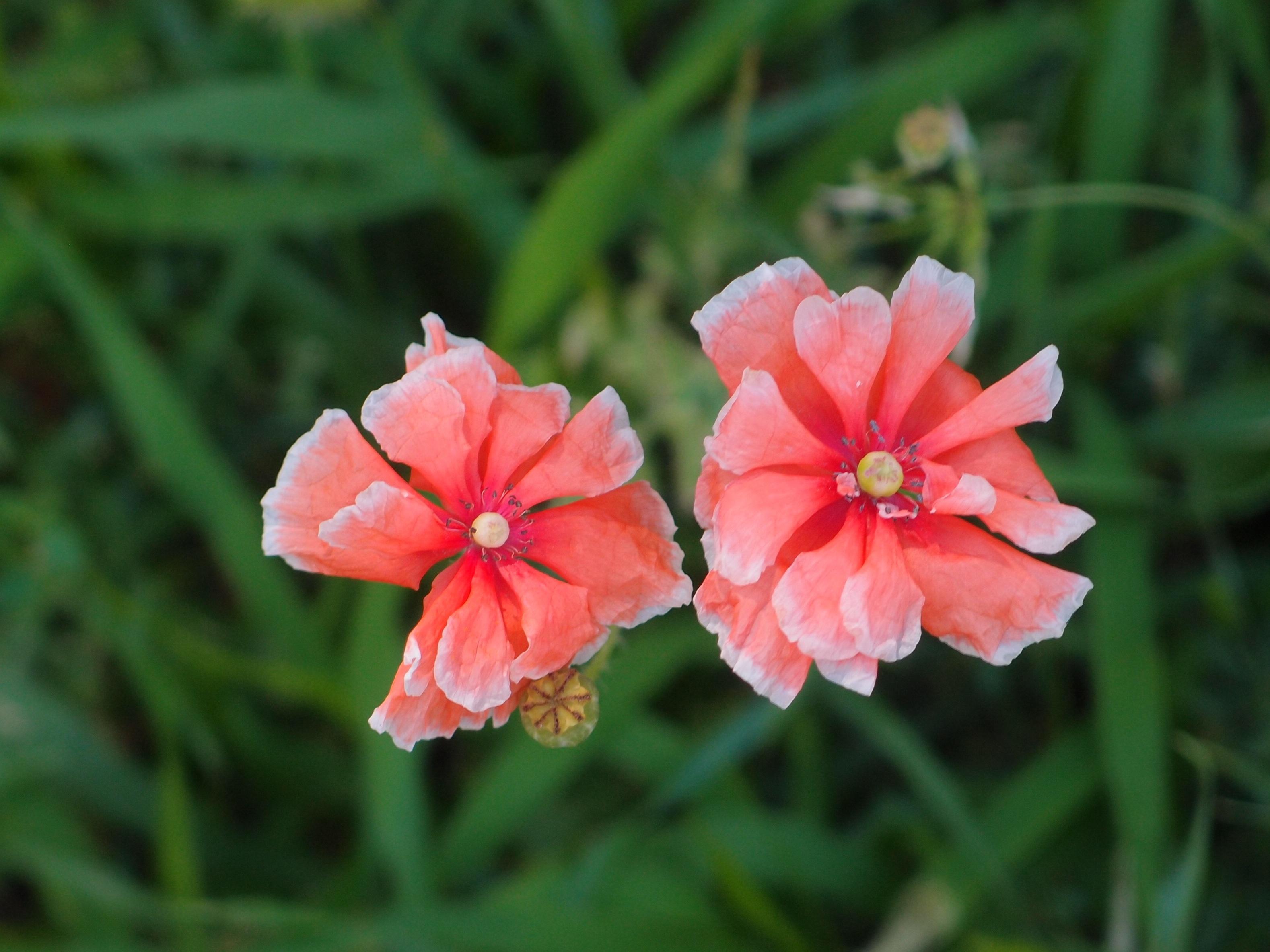 Free Images Petal Botany Closeup Flora Wildflower Red Flower