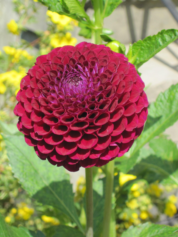 gratis afbeeldingen   fabriek  bloemblad  rood  plantkunde  tuin