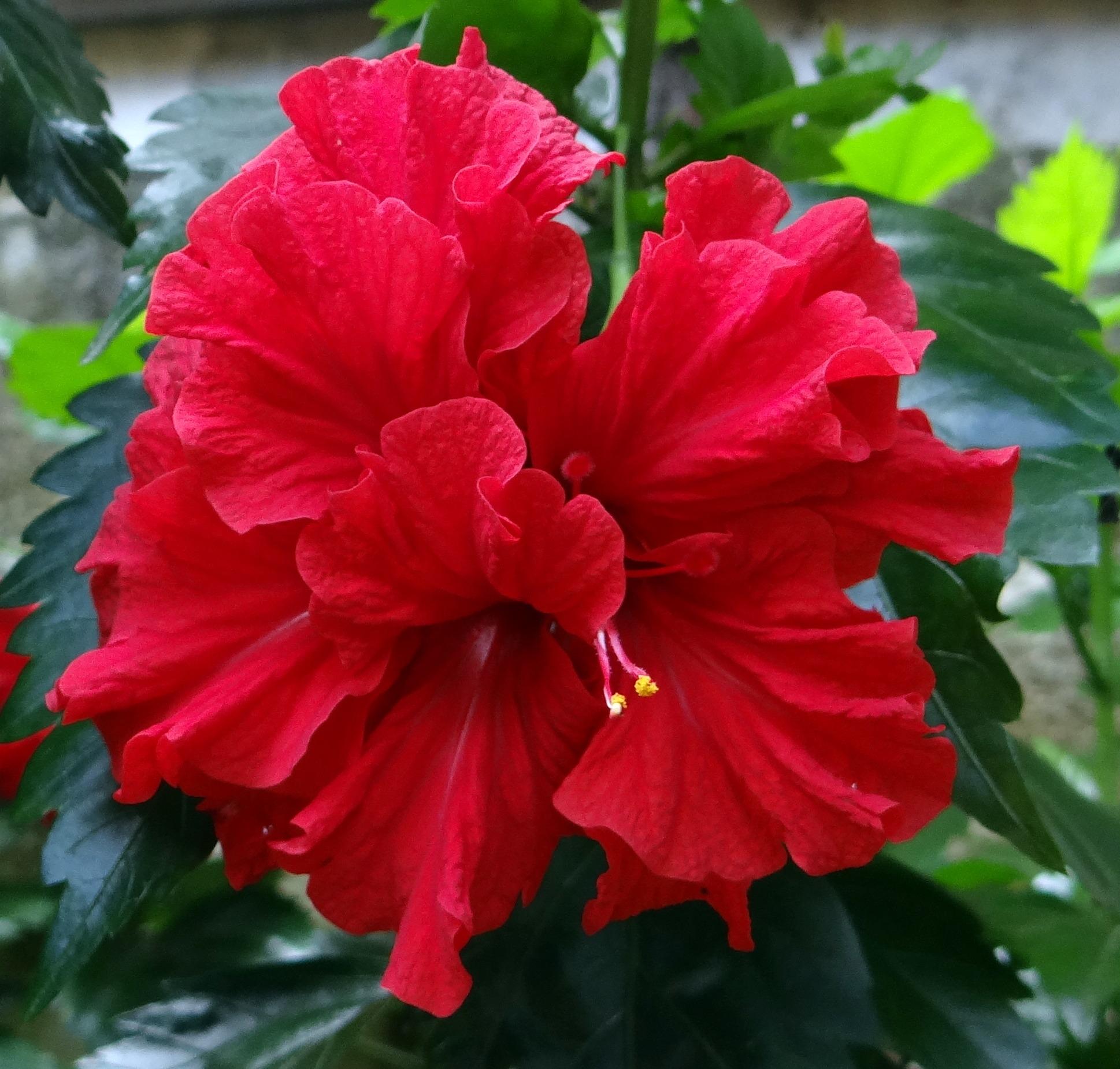 Free Images Flower Petal Red Dharwad Flora Shrub India