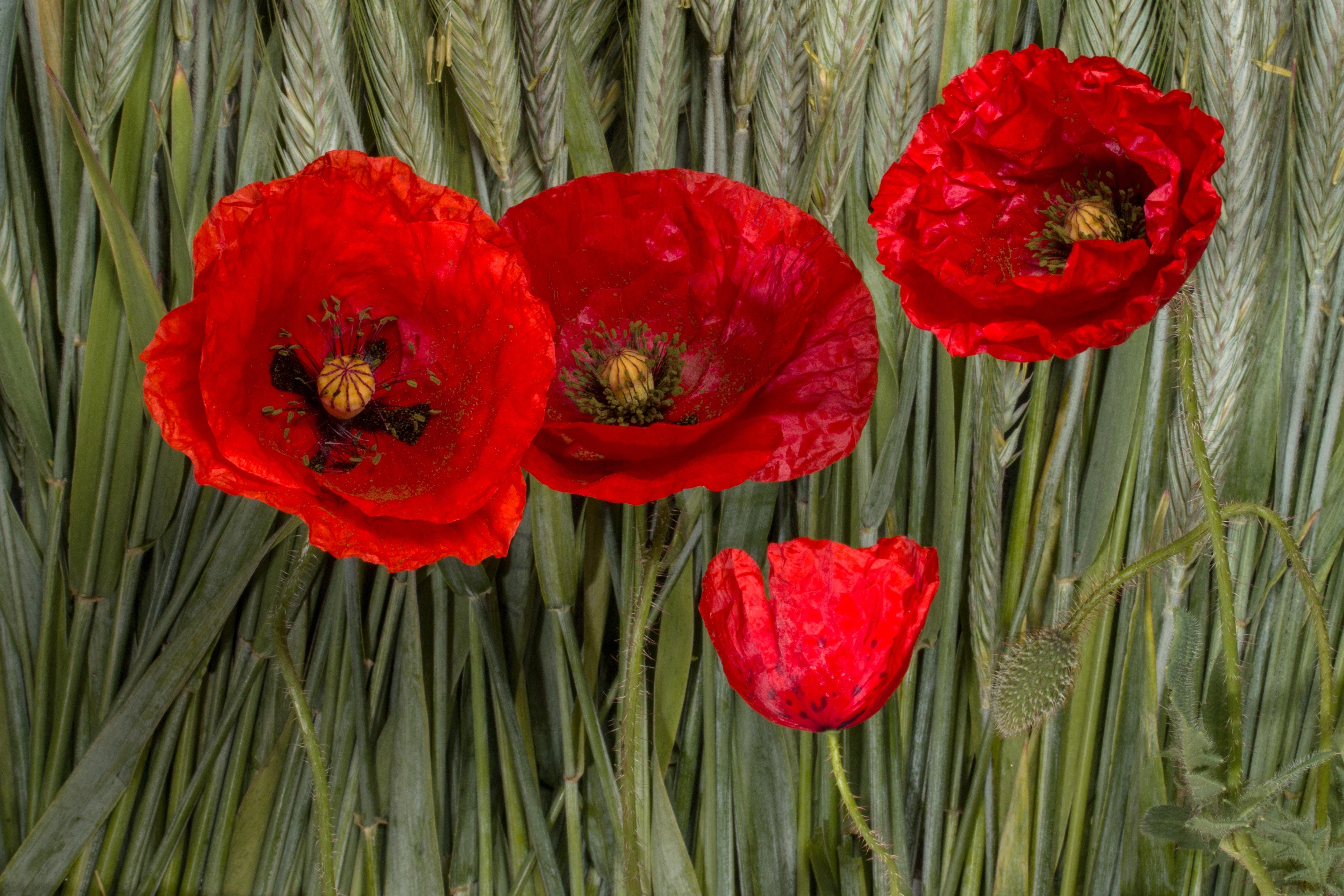 Free Images Petal Red Flora Klatschmohn Poppy Flower Cereals