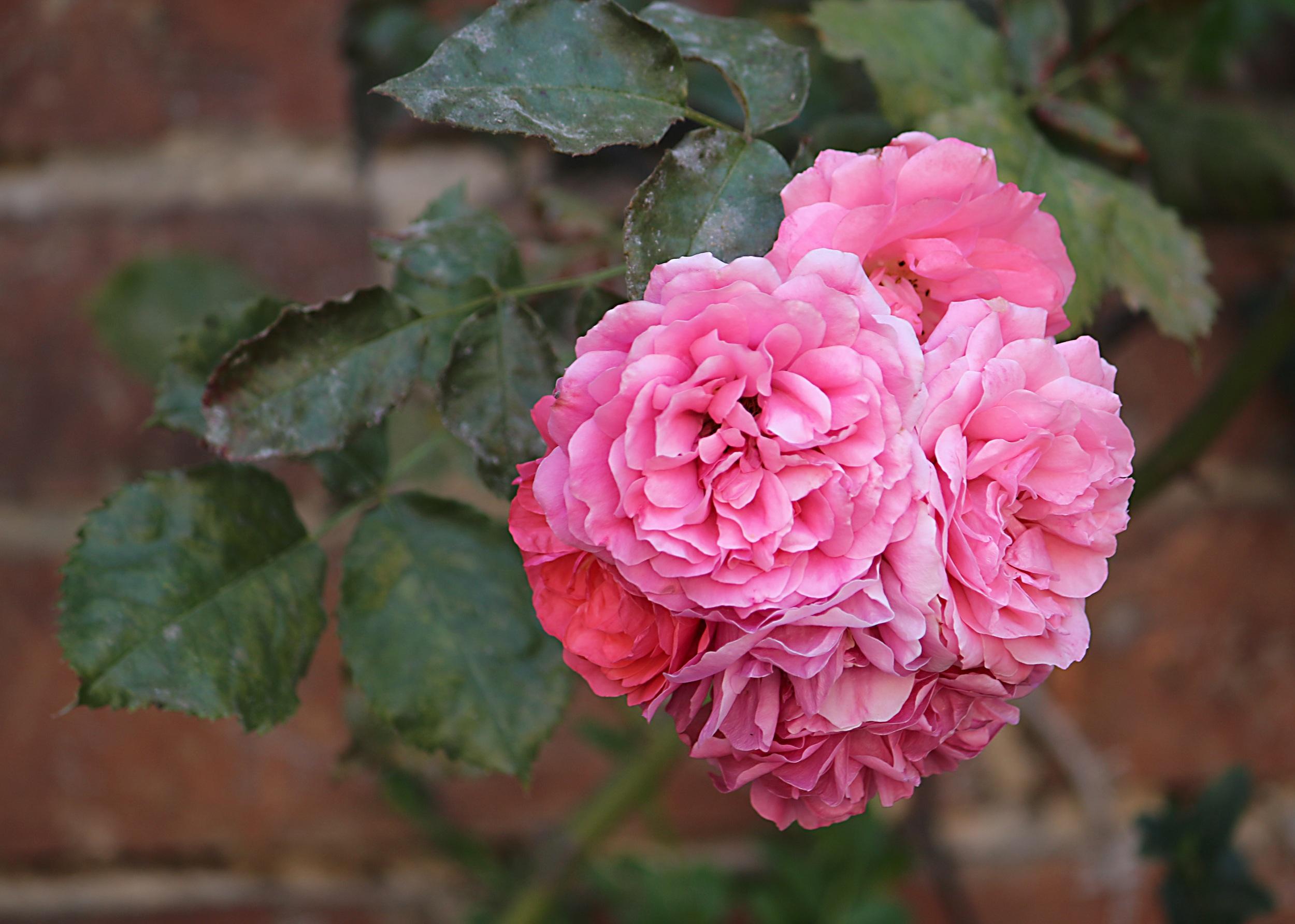 Download 1010+ Gambar Bunga Mawar Yg Gugur Paling Cantik HD