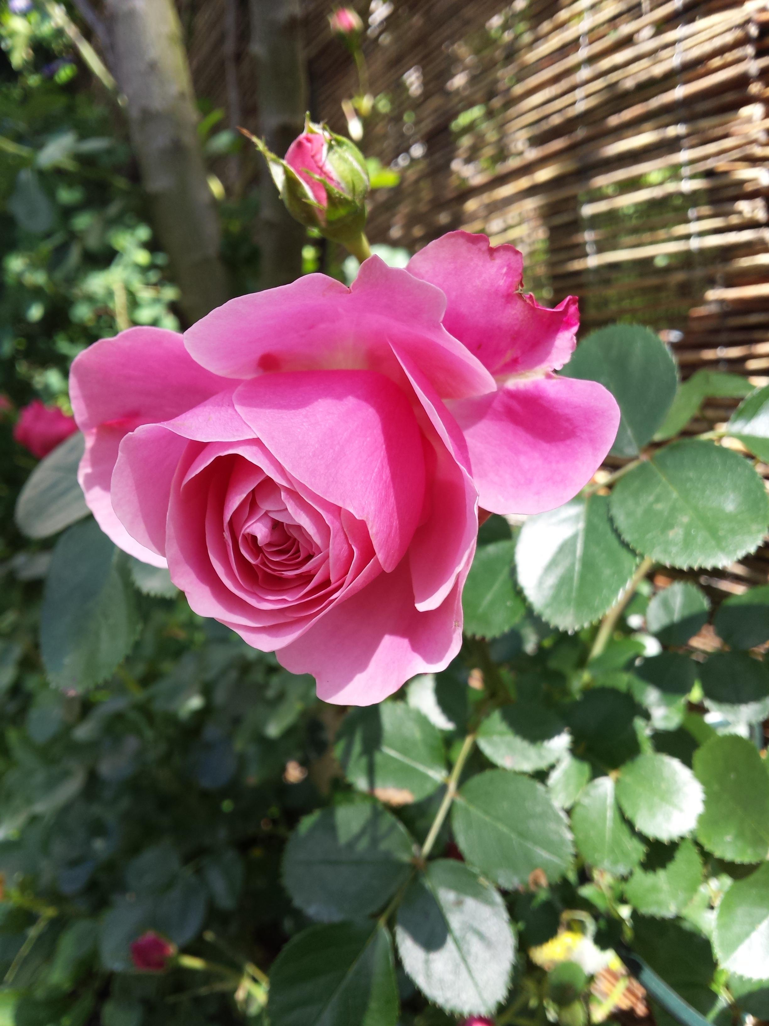 роза рамблер розового цвета фото выбор эскизов