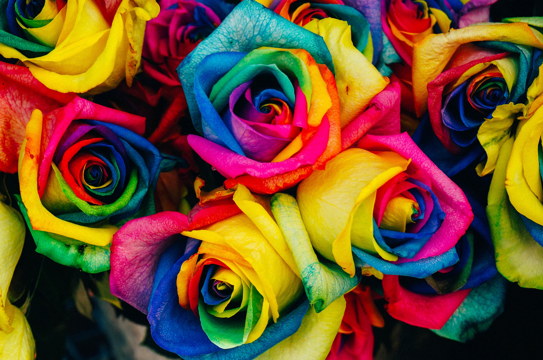 Poze Plantă Floare Petală Trandafir Culoare Colorat