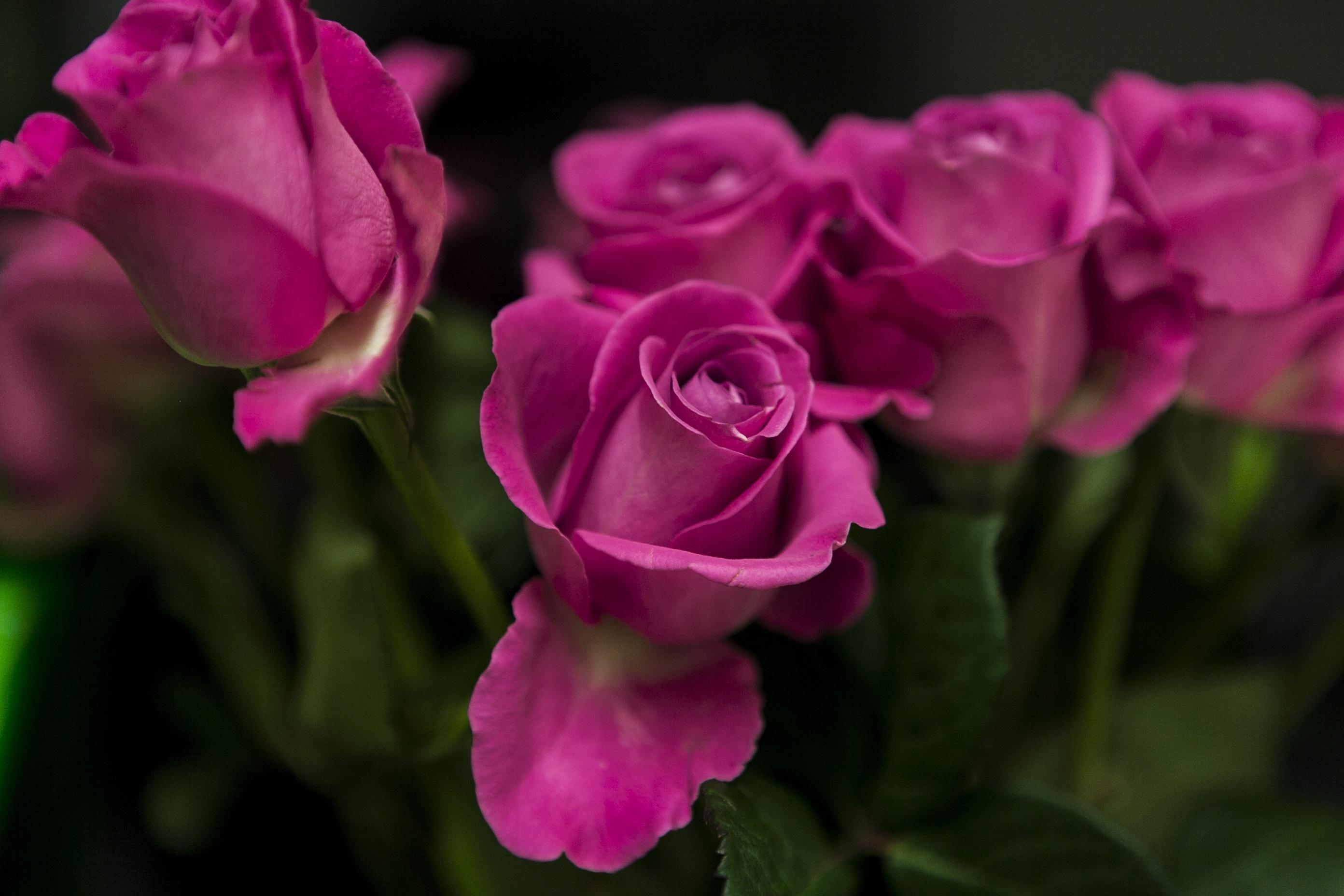Images gratuites fleur p tale vert rouge rose flore - Plante a fleurs roses ...