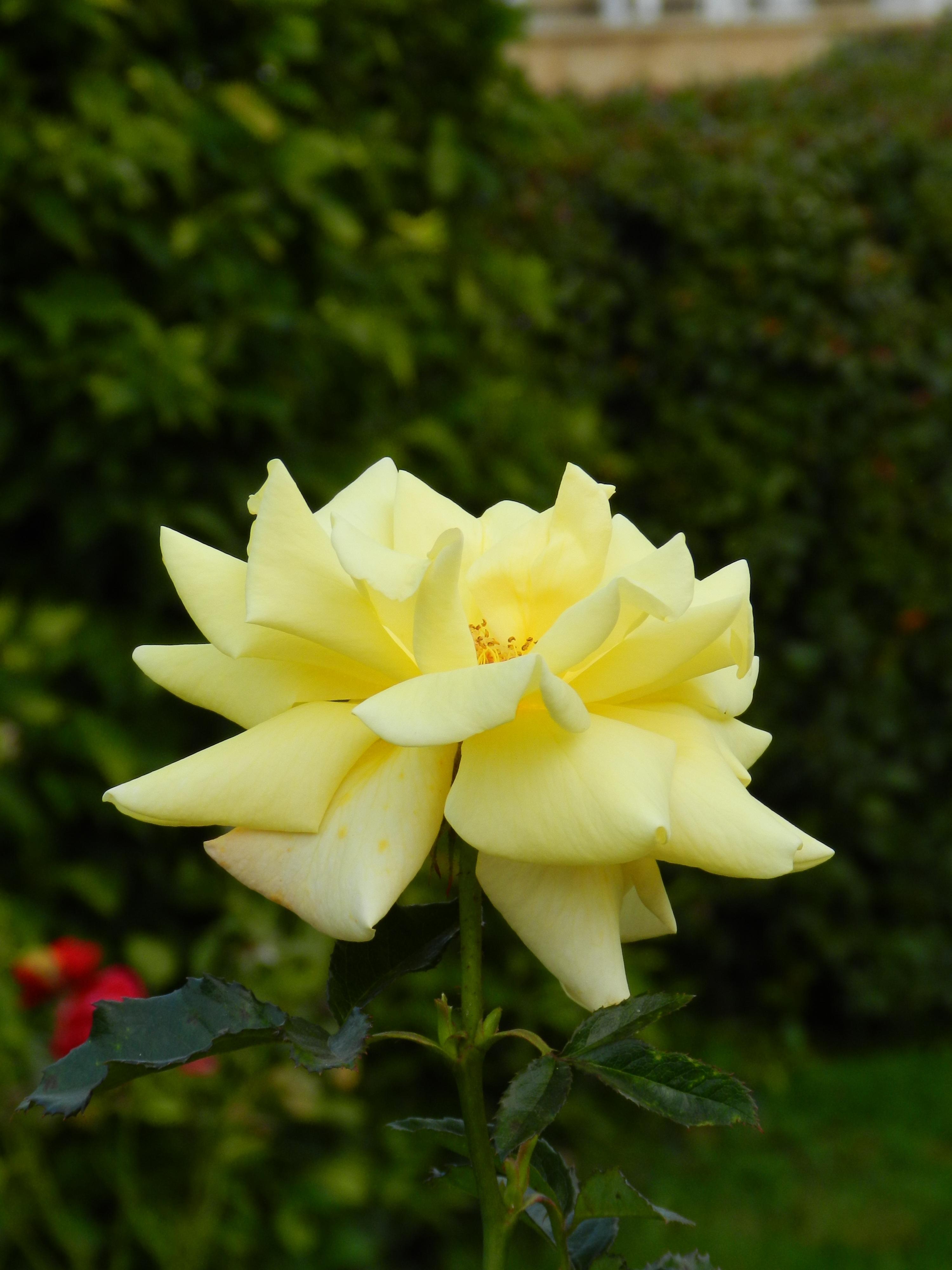 Free Images Flower Petal Macro Botany Flora Shrub Yellow