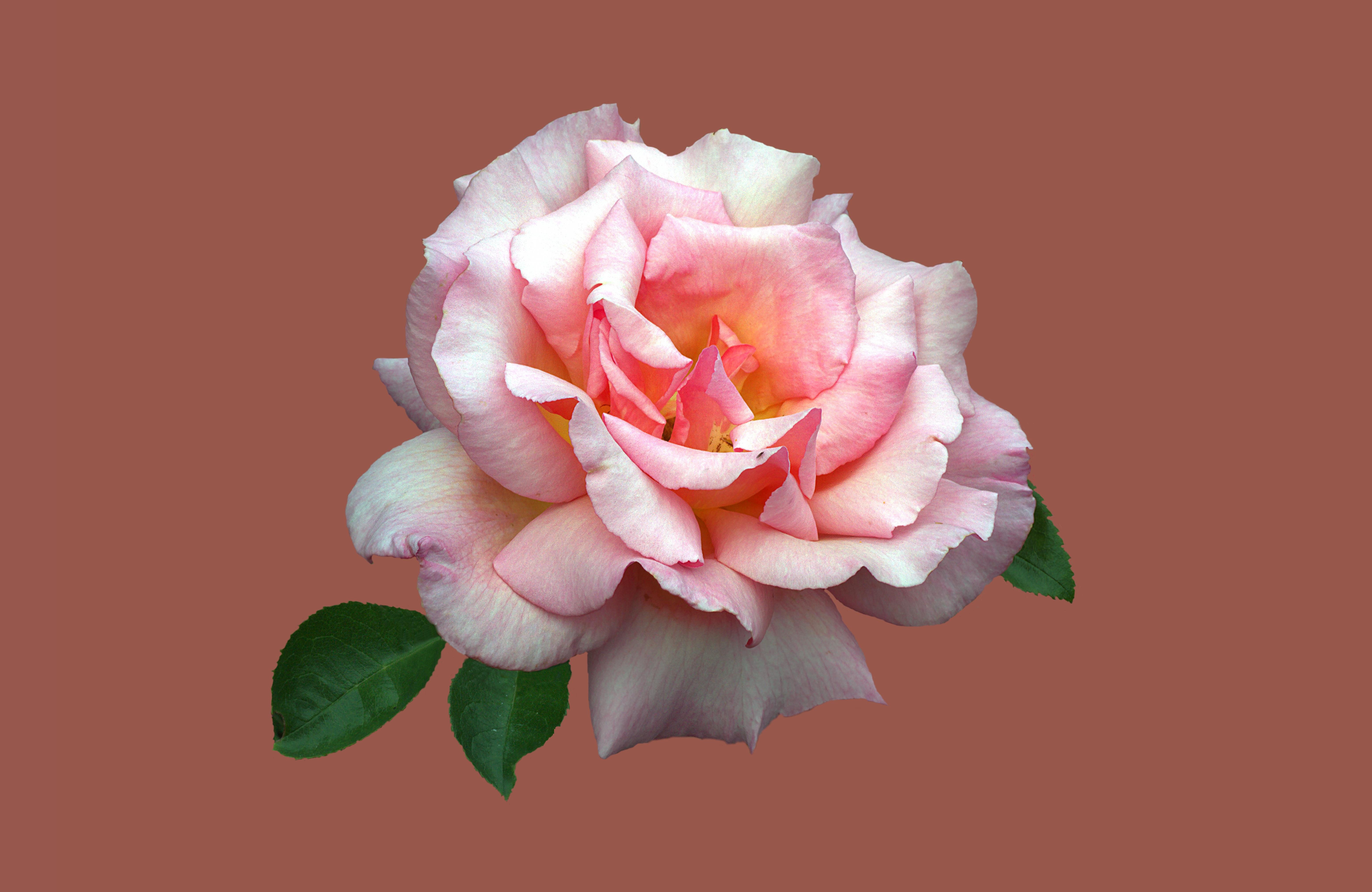 Фото цветы розы с поцелуем