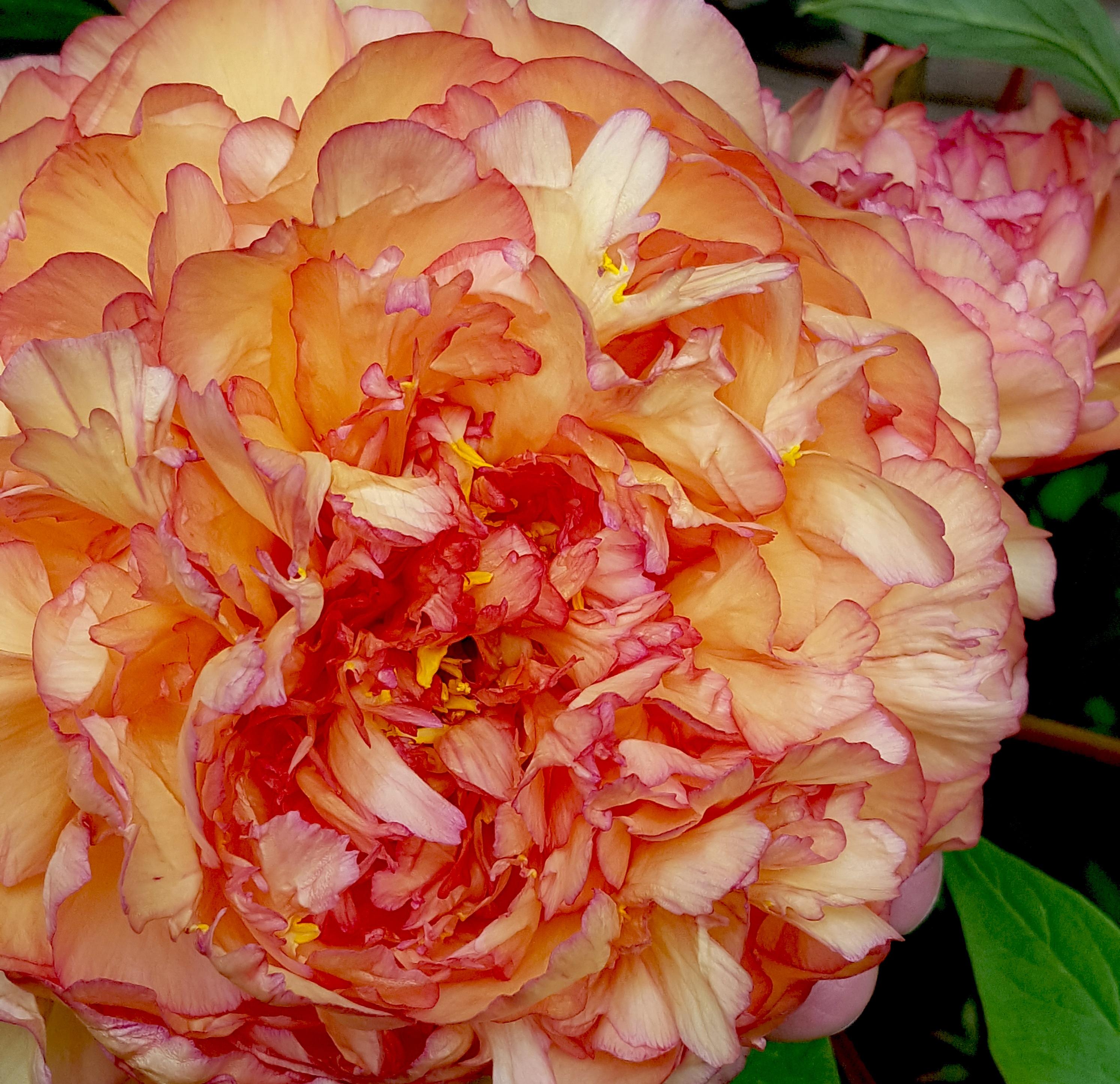 menanam bunga daun bunga mawar berwarna merah muda Budidaya Bunga peony floribunda tanaman berbunga mawar taman