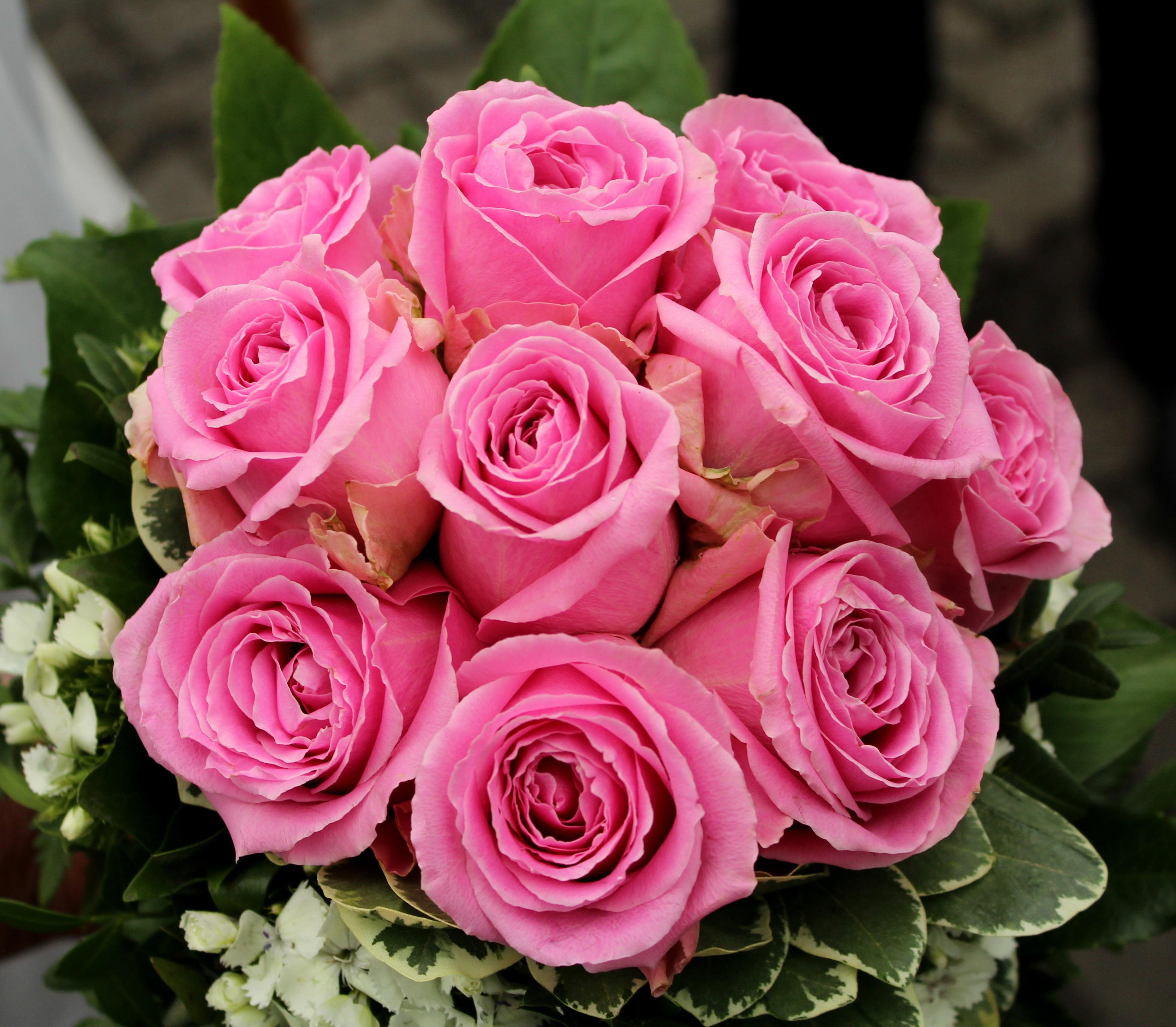 รูปภาพ : ปลูก, กลีบดอกไม้, ดอกกุหลาบ, สีชมพู, floribunda ...