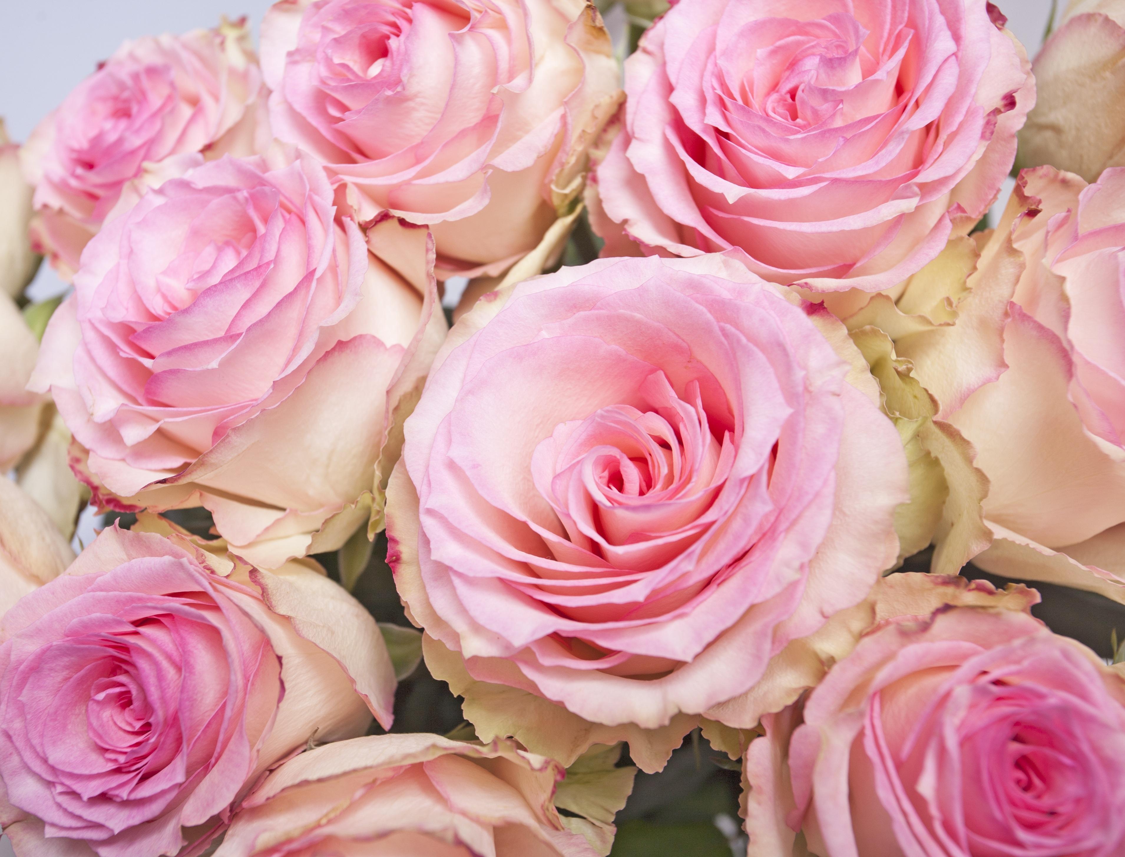 Afskårne Roser gratis billeder : blomst, kronblad, rose, lyserød, roser, pink rose