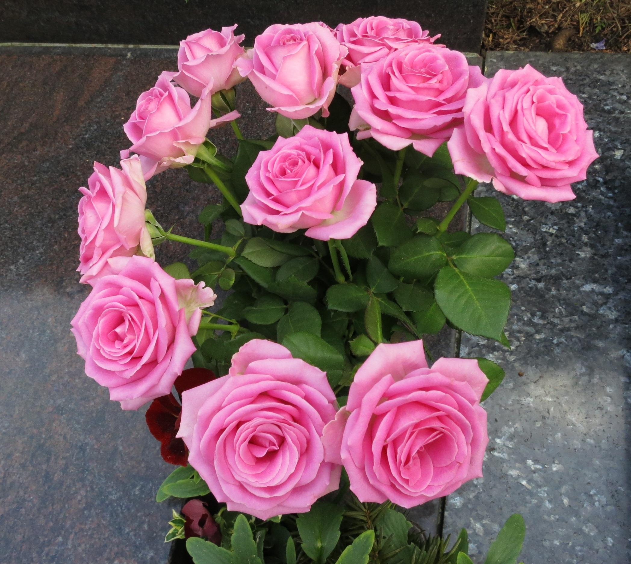 Afskårne Roser gratis billeder : blomst, kronblad, rose, lyserød, roser, strauss