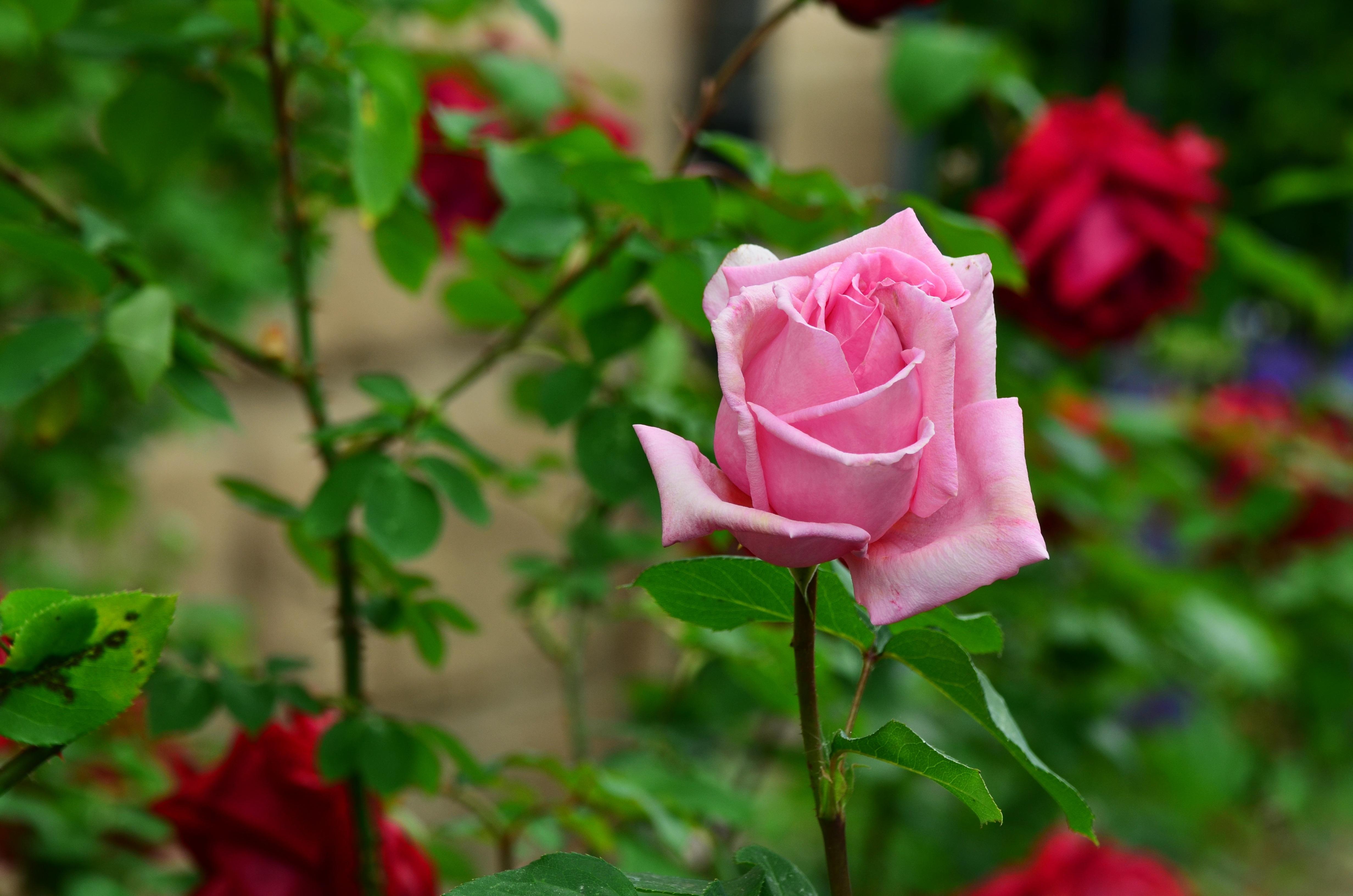 images gratuites : pétale, rouge, botanique, flore, des roses