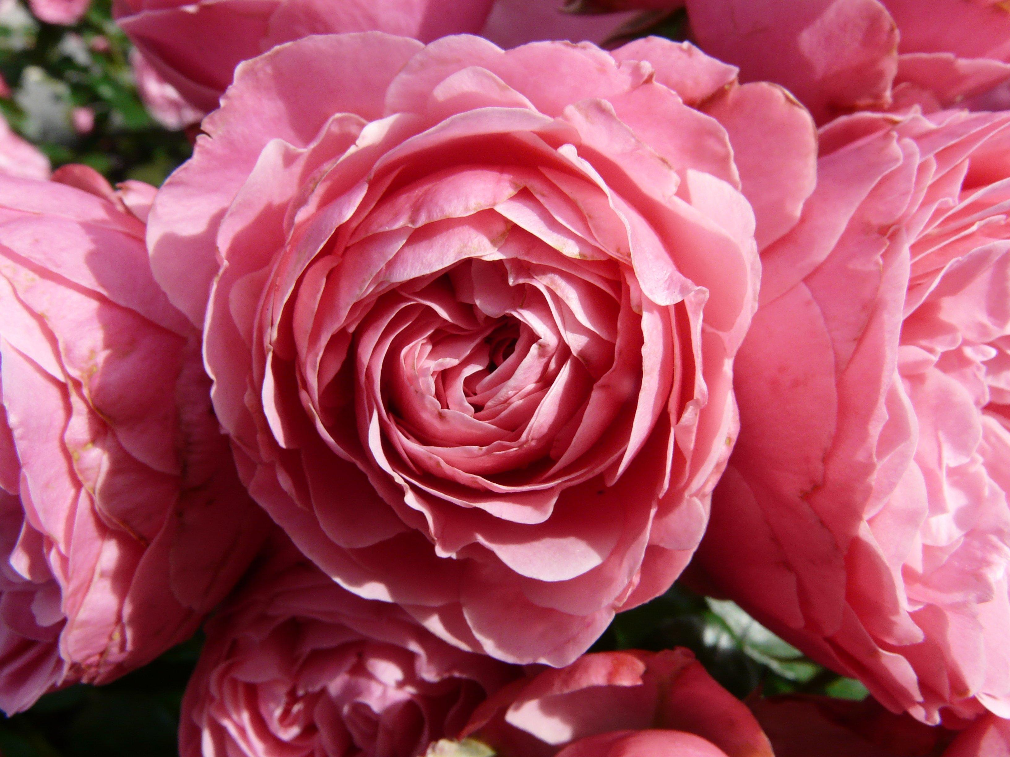 Розу палитра цветов