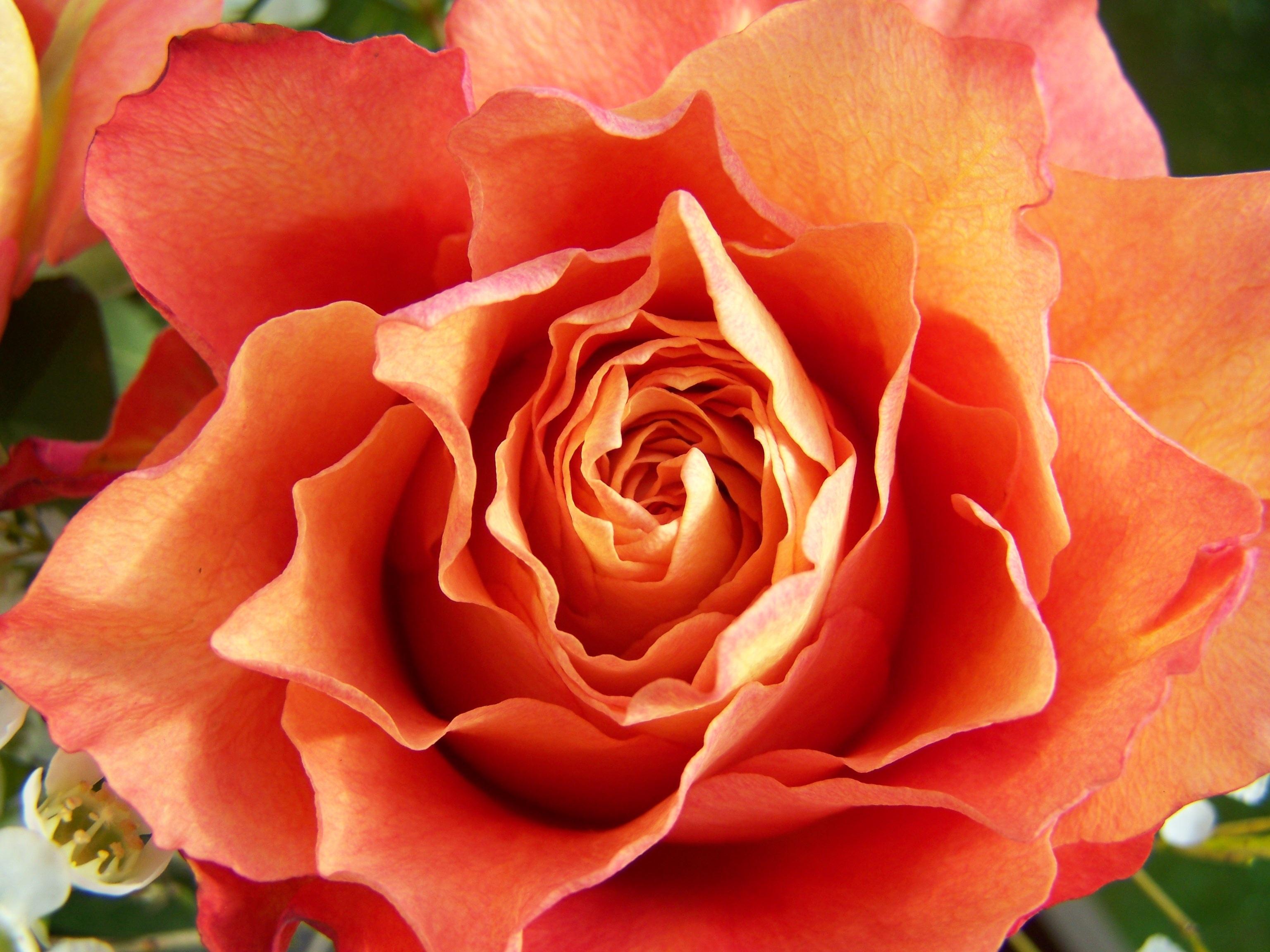 Free Images Petal Red Cut Flower Floribunda Macro Photography