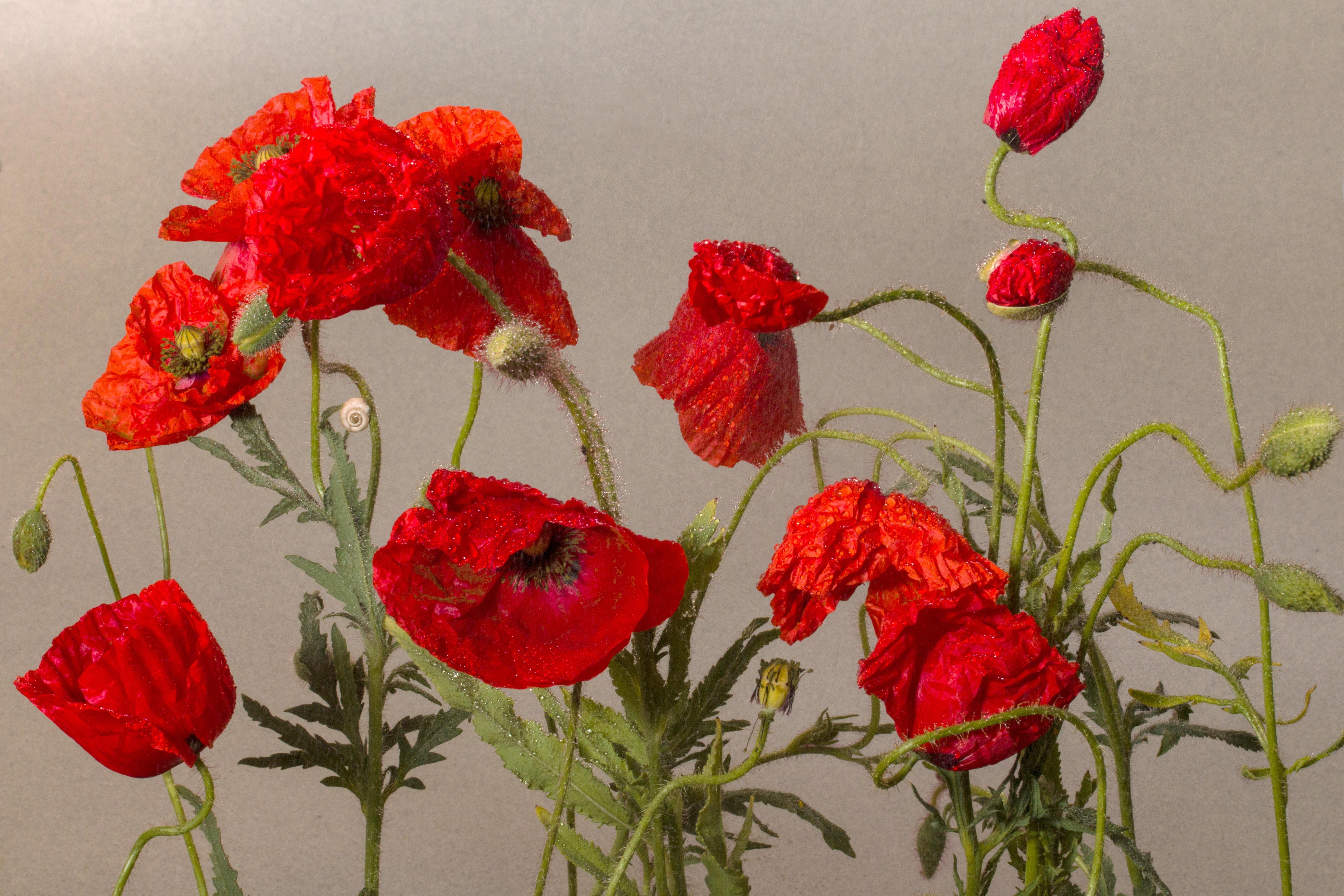 Free Images : petal, rose, flora, klatschmohn, poppy flower, red ...