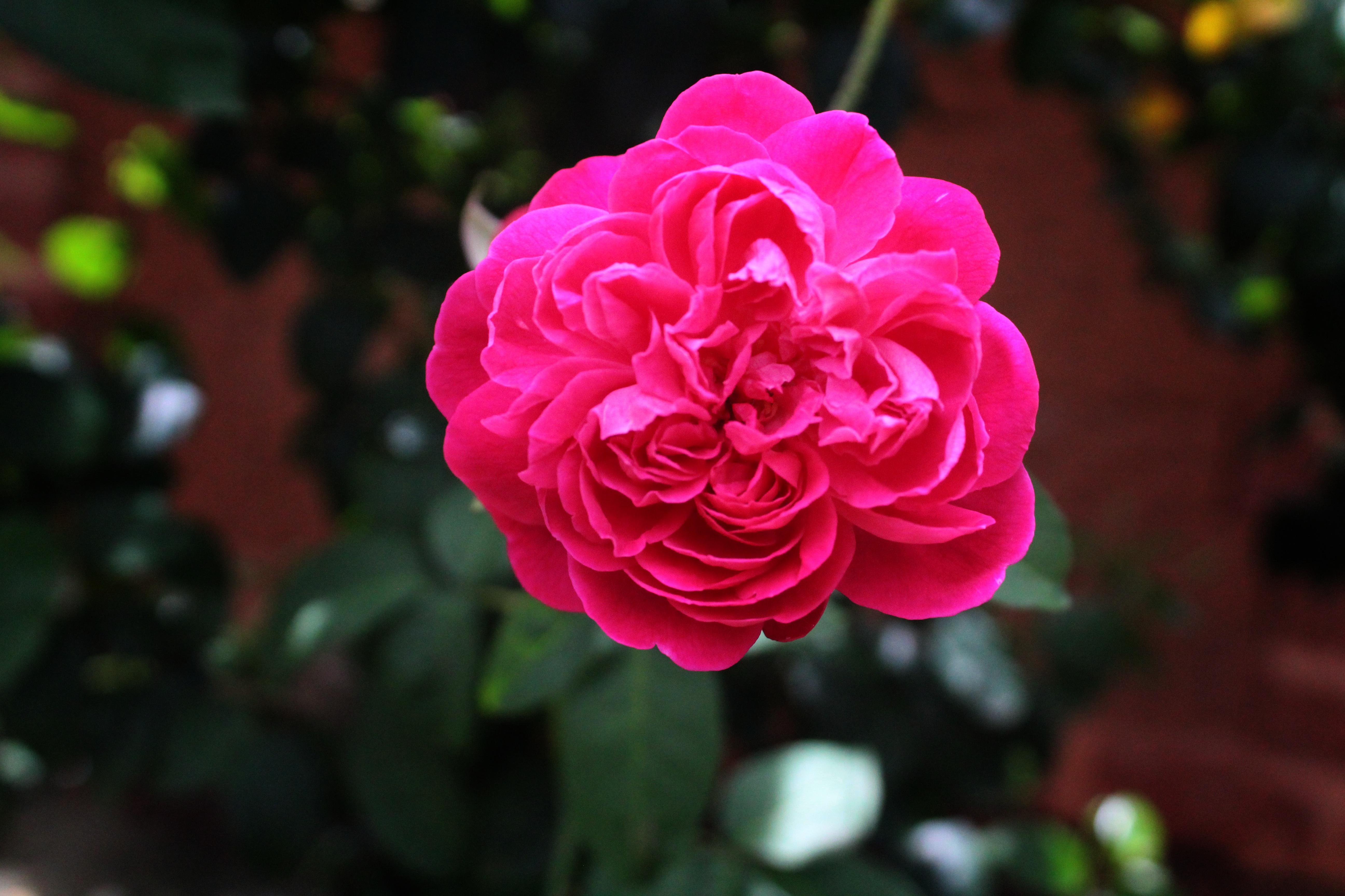 Images Gratuites Fleur Petale Rouge Flore Arbuste Floribunda