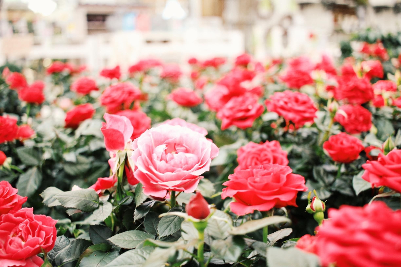 menanam bunga daun bunga mawar merah Budidaya Bunga floribunda tanaman berbunga mawar taman keluarga mawar tanaman