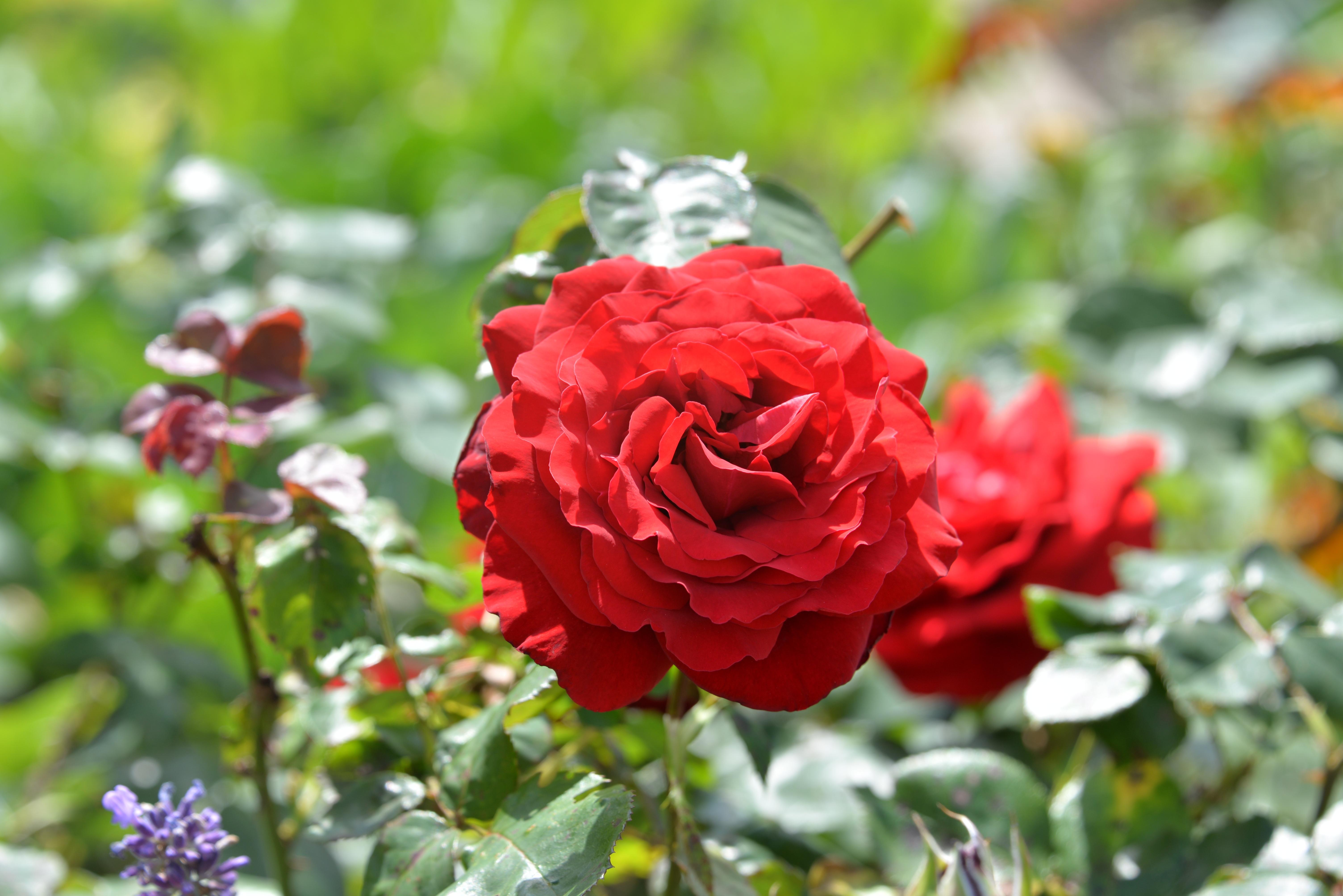 розы сады красные картинки театральной постановке играли
