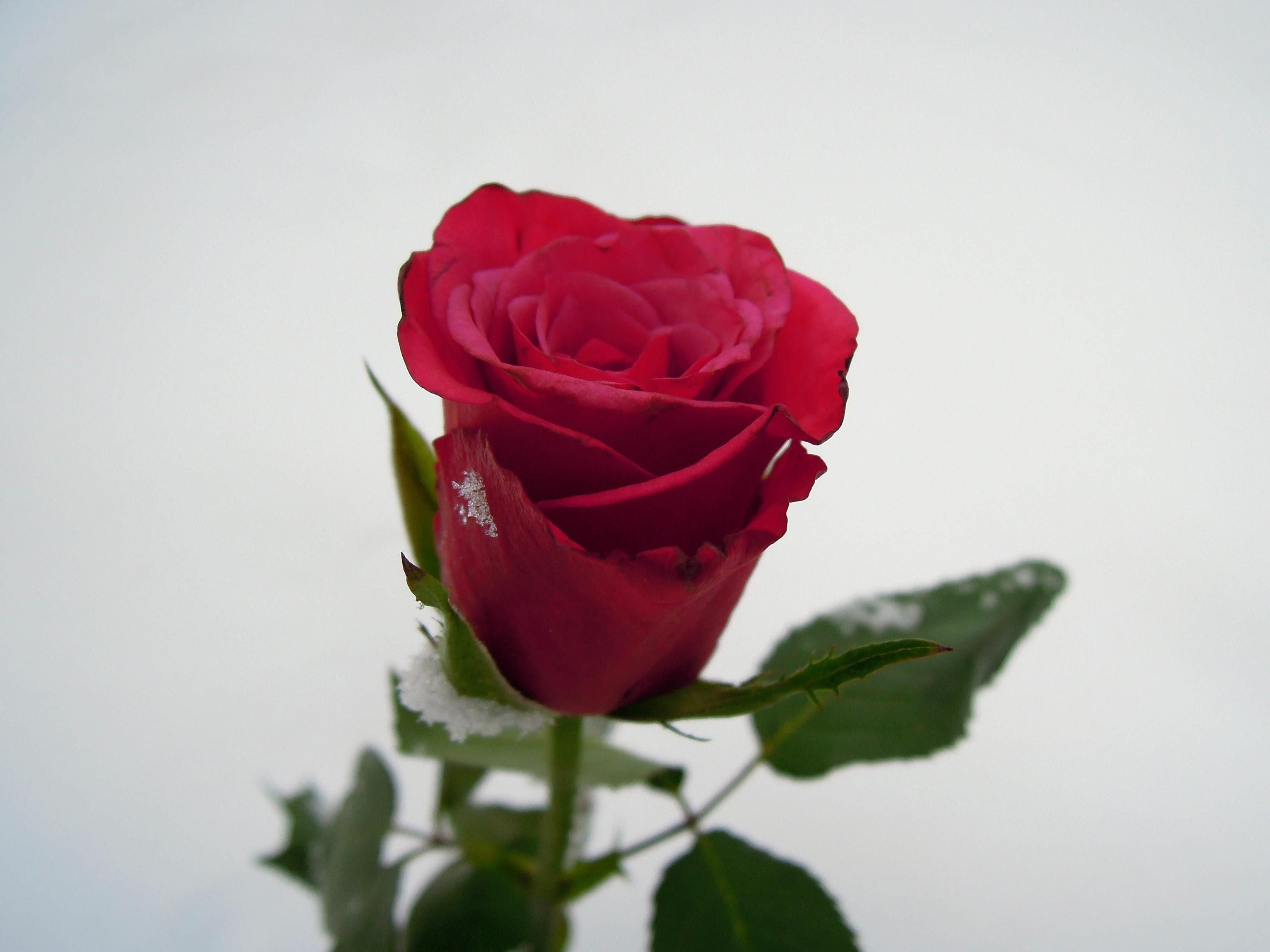 данной открытка одна крупная роза этой фотографии