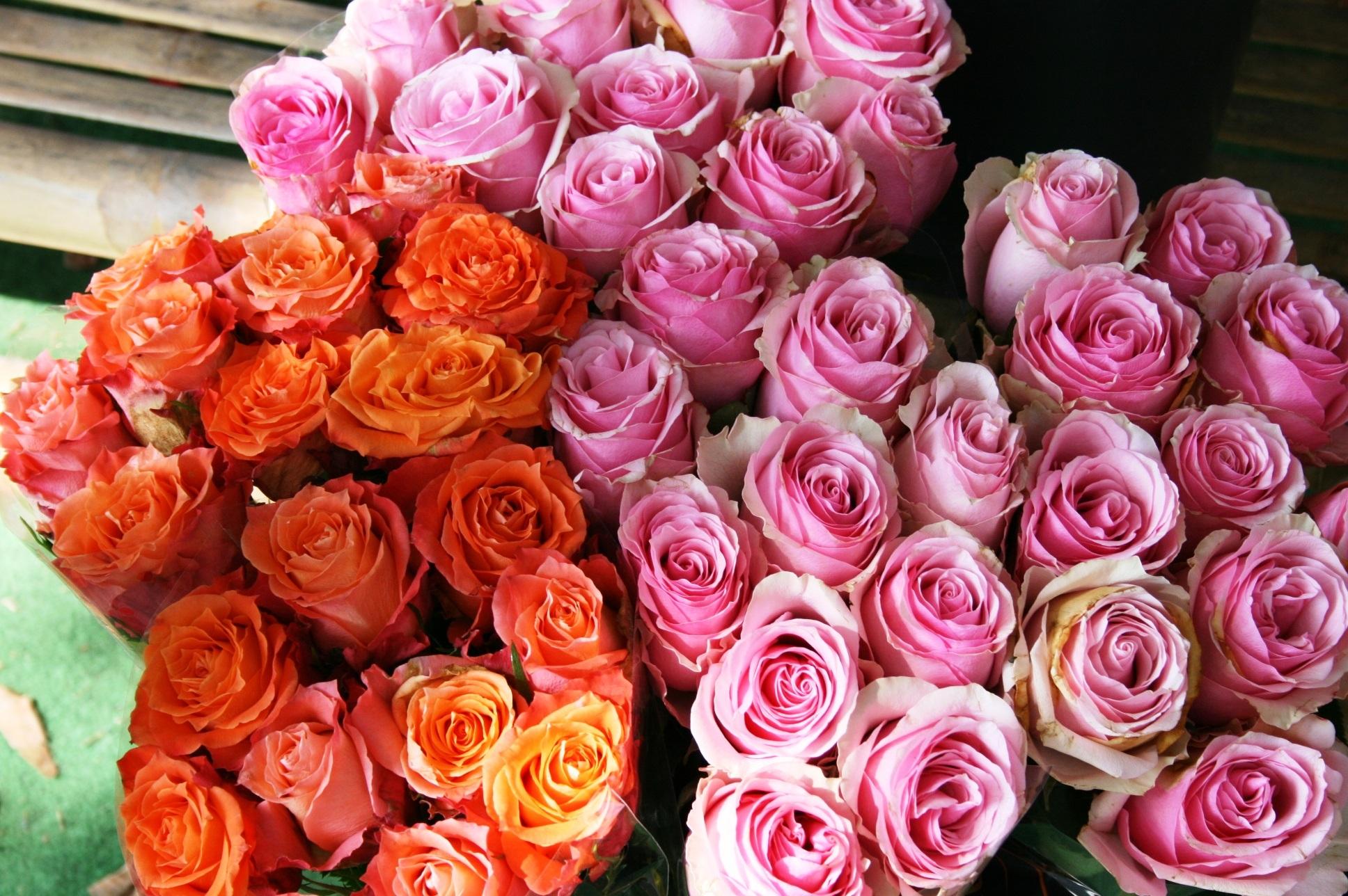 menanam bunga daun bunga mawar merah berwarna merah muda