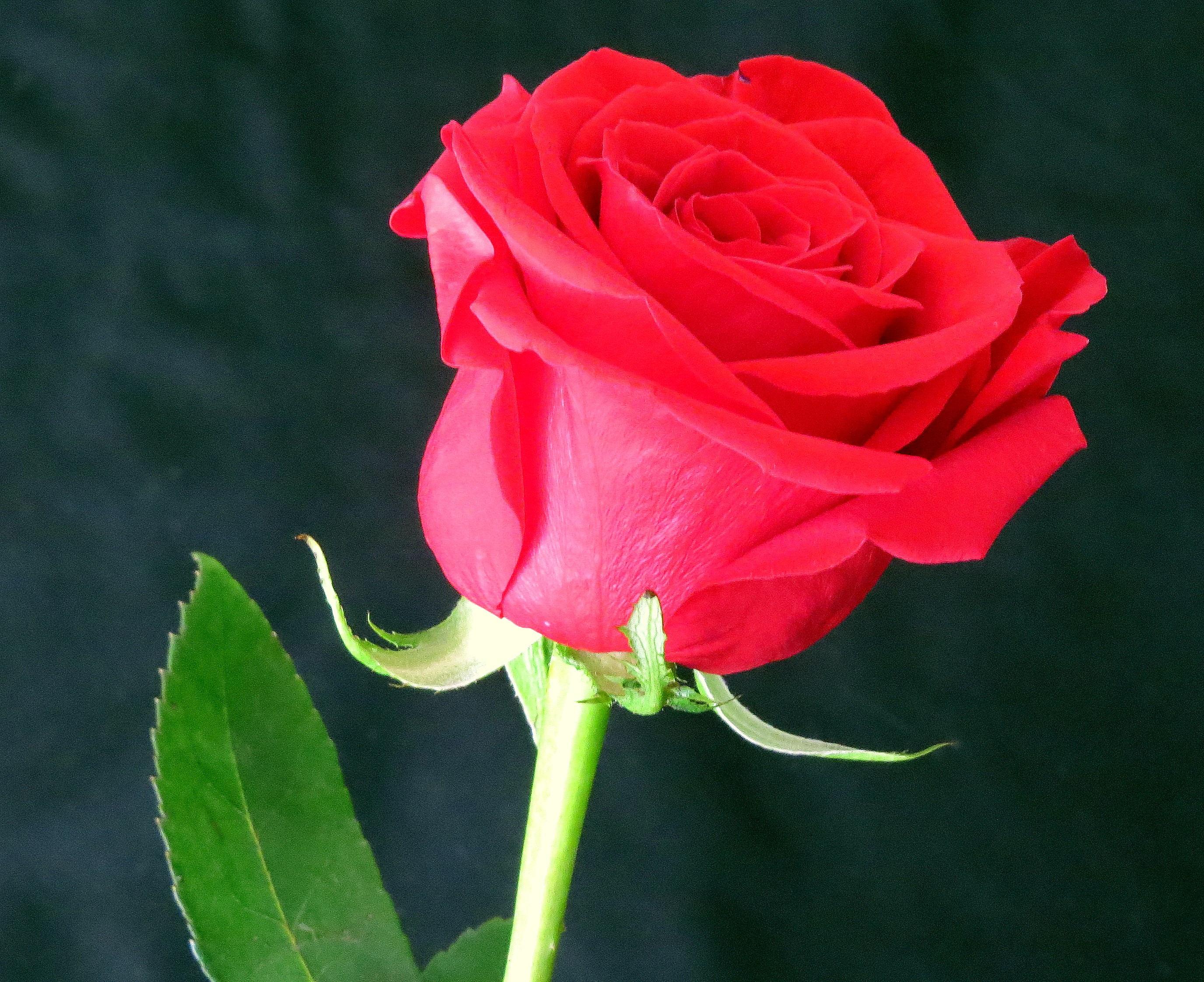 Free Images Flower Petal Red Rose Floribunda Macro Photography