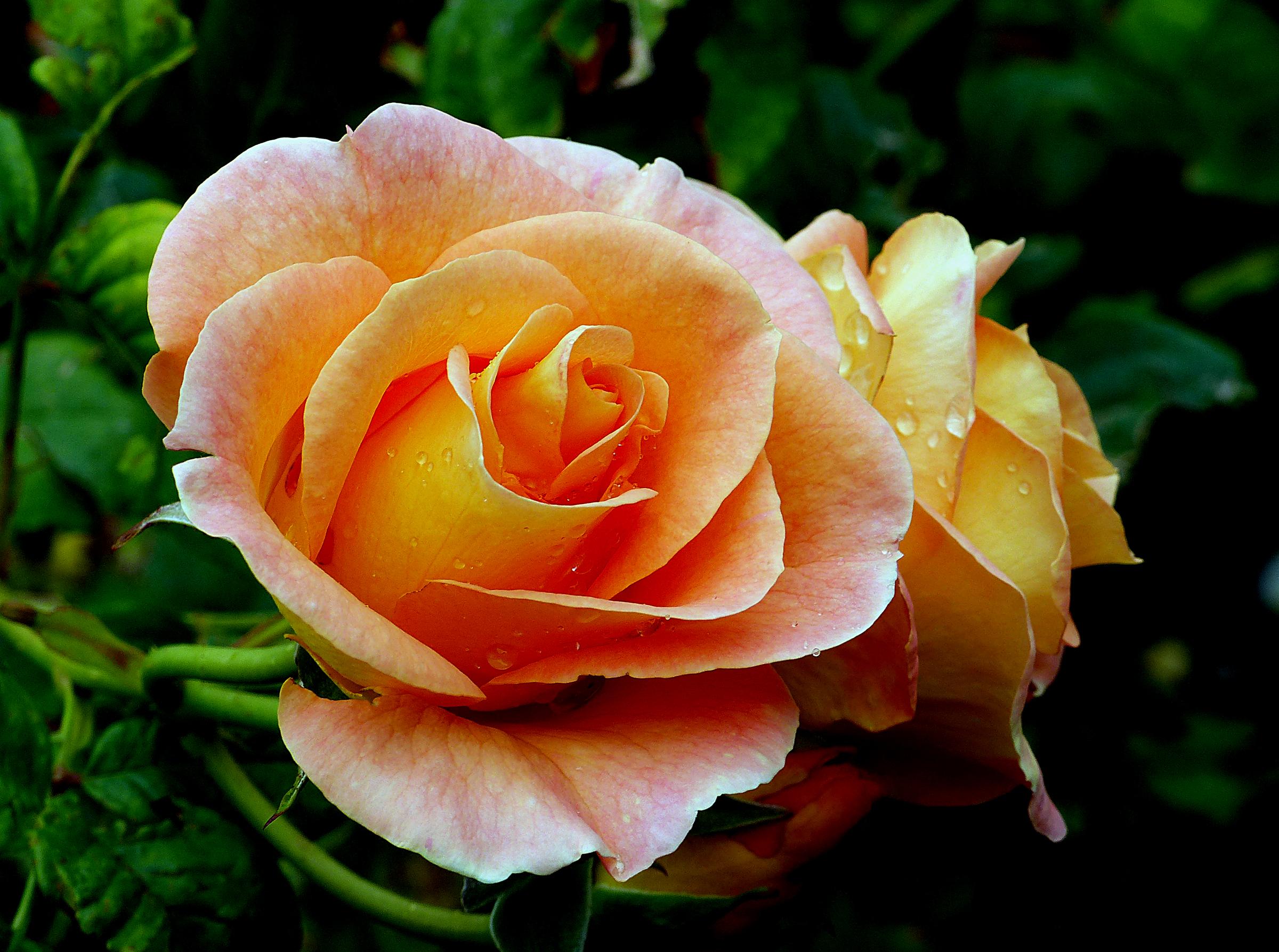 Фотографии про розы