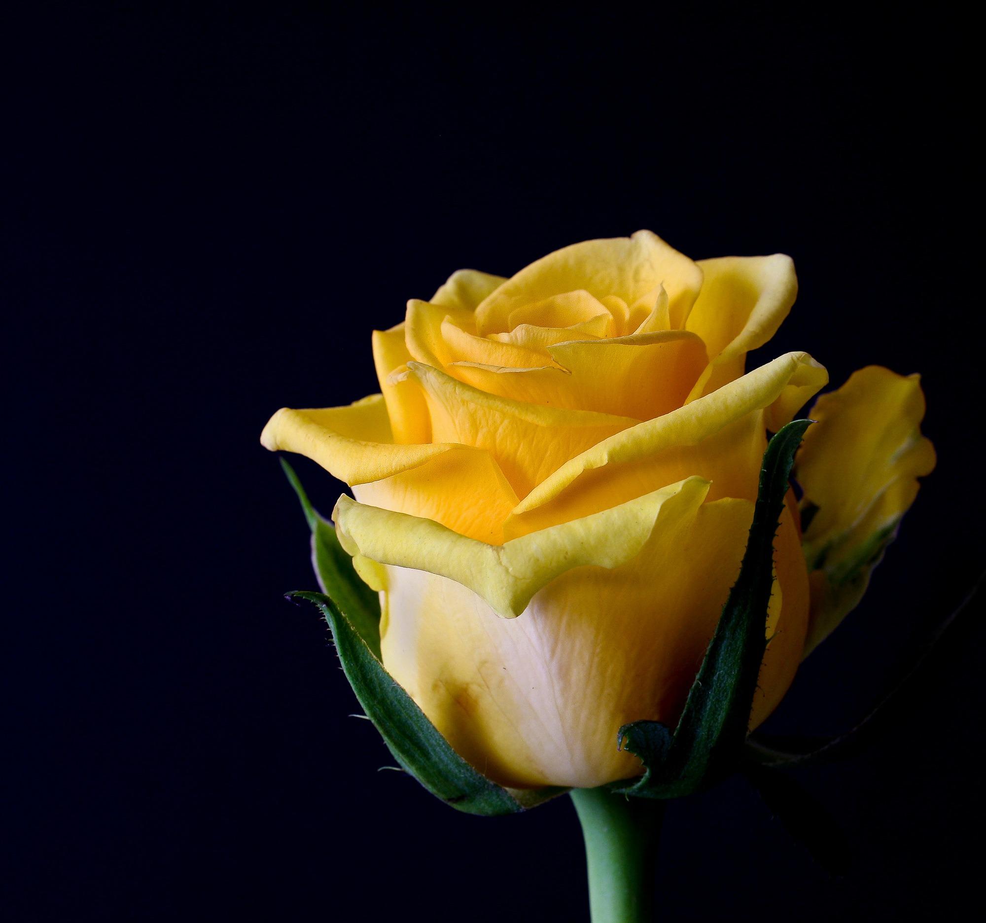menanam bunga daun bunga mawar kuning bunga bunga mawar naik mekar fotografi makro tanaman berbunga