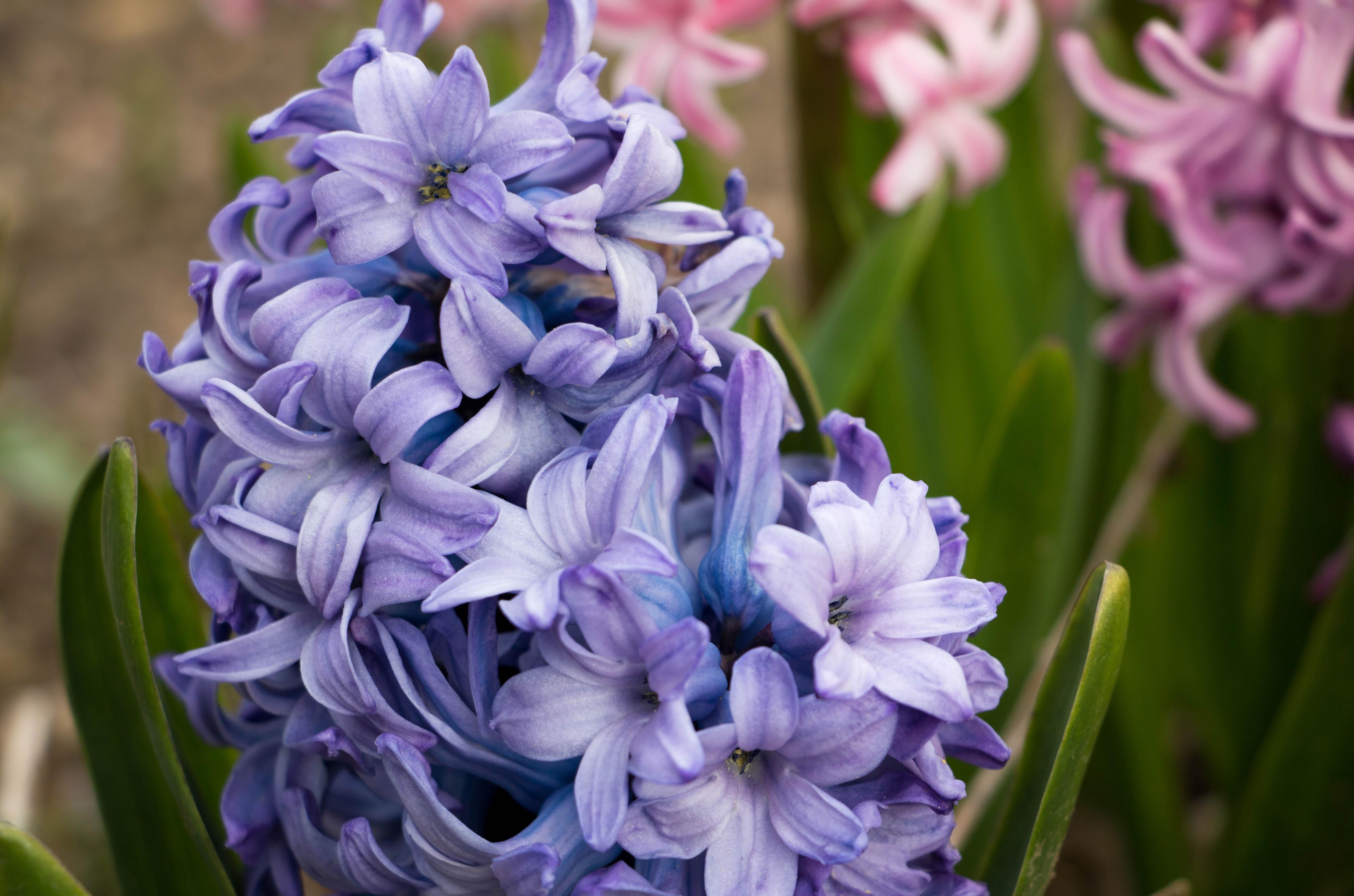 Free Images Petal Botany Blue Garden Close Flora Violet