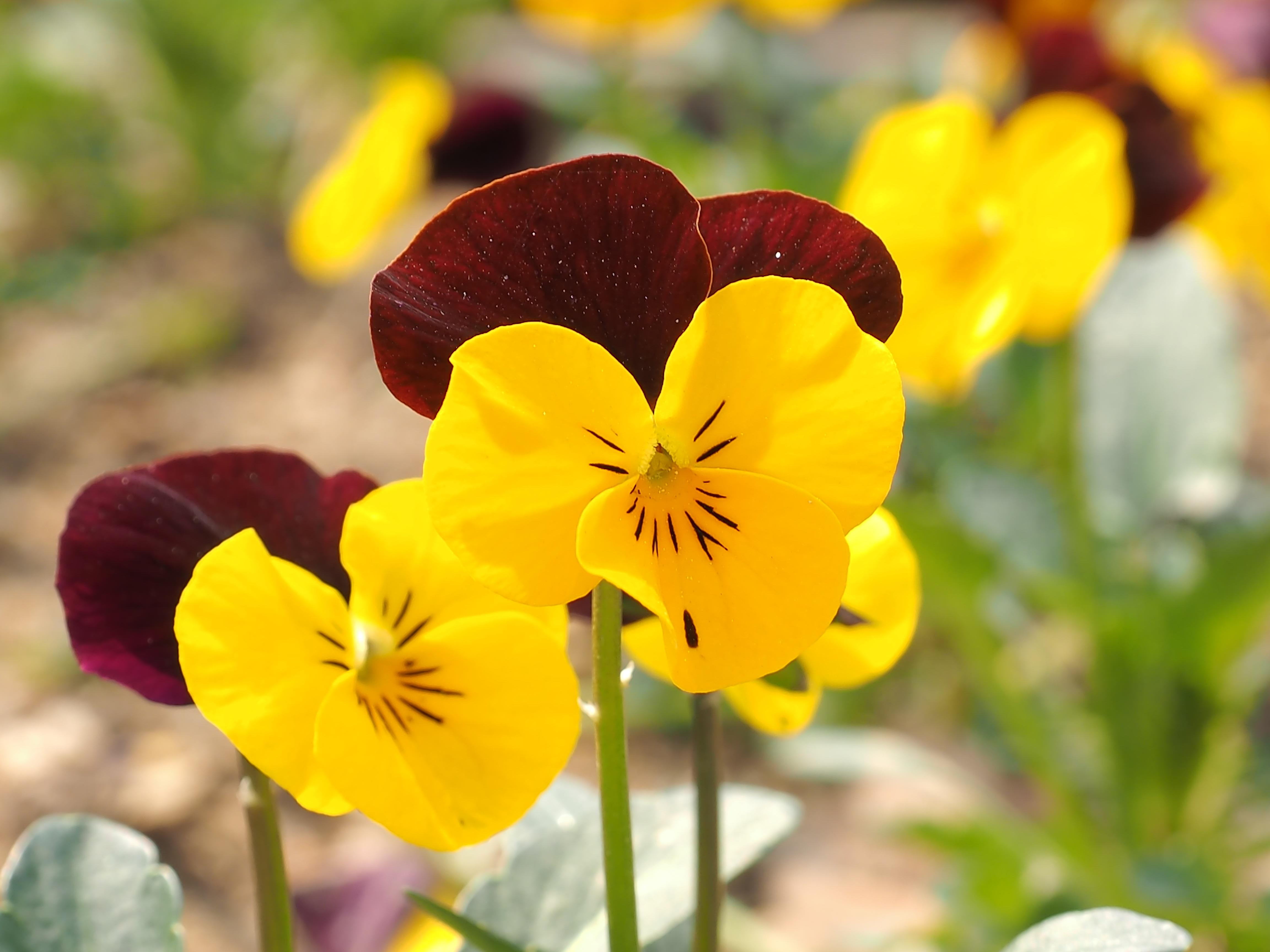 kostenlose foto bl tenblatt fr hling botanik gelb flora pflanzen gelbe blume wildblume. Black Bedroom Furniture Sets. Home Design Ideas
