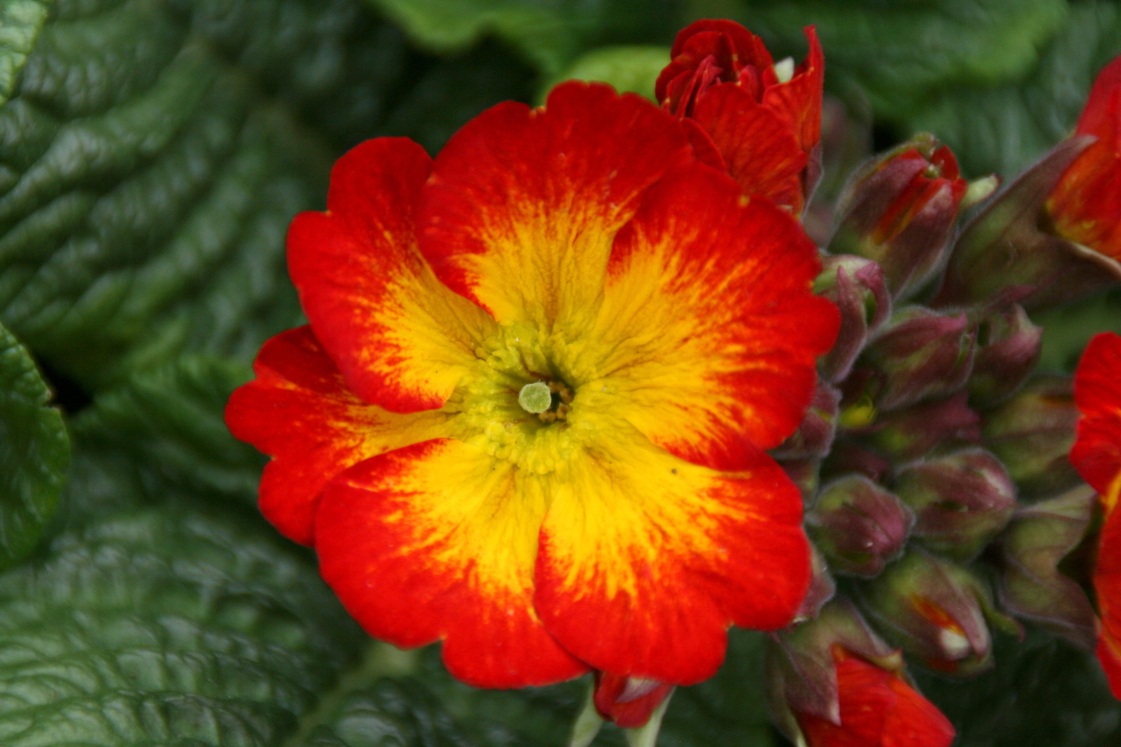 Fotoğraf Taçyaprağı Bahar Yeşil Kırmızı Botanik Sarı Bitki