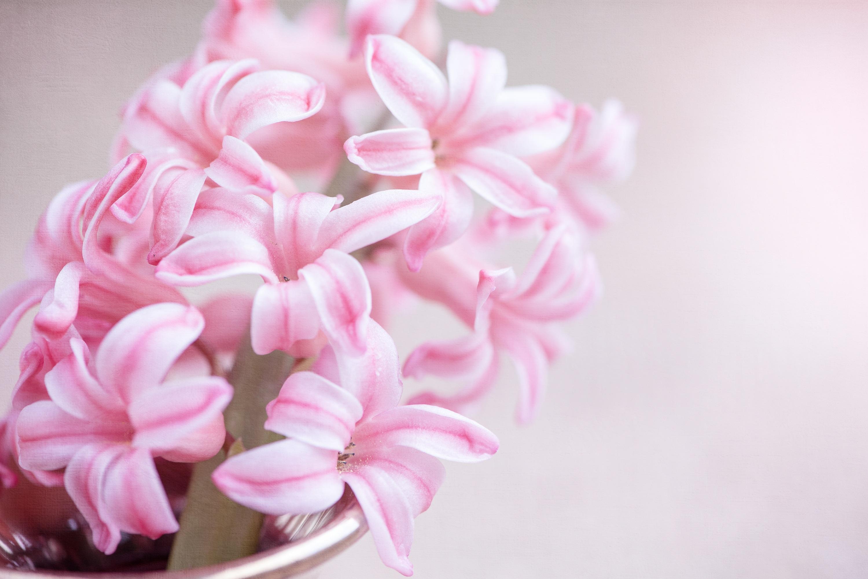 Free Images : petal, close, icing, spring flower, pink flower, pink ...