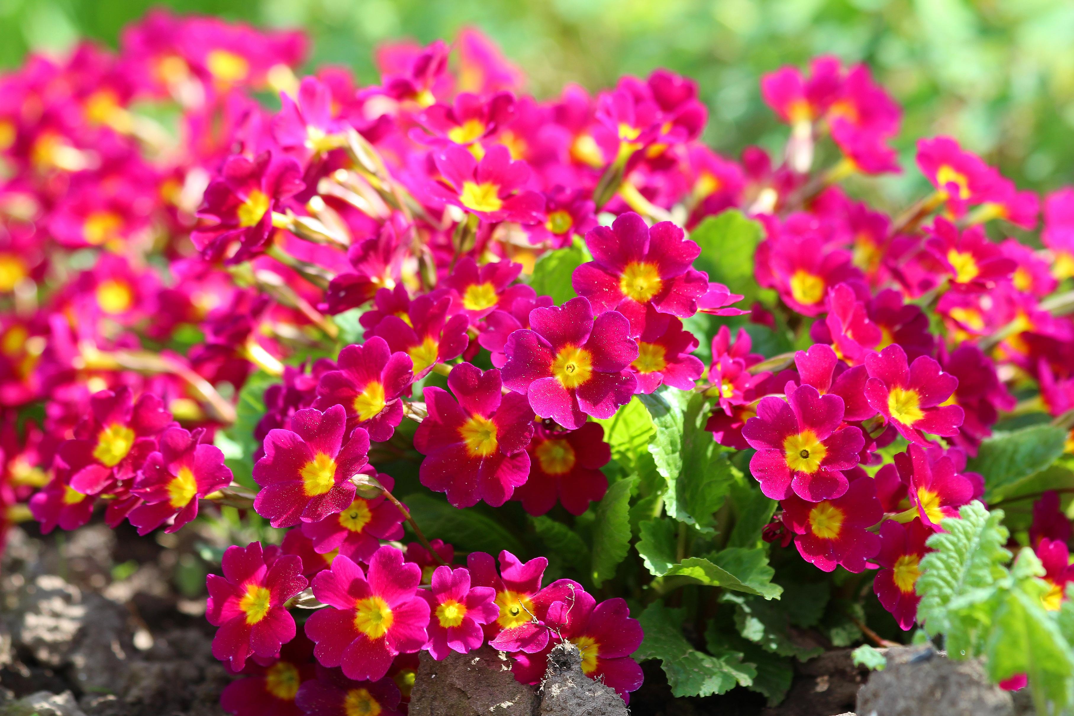 Images gratuites fleur p tale printemps rouge for Plante annuelle