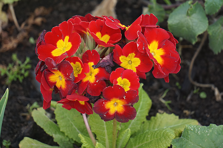Fotoğraf Taçyaprağı Bahar Kırmızı Botanik Bahçe Bitki örtüsü