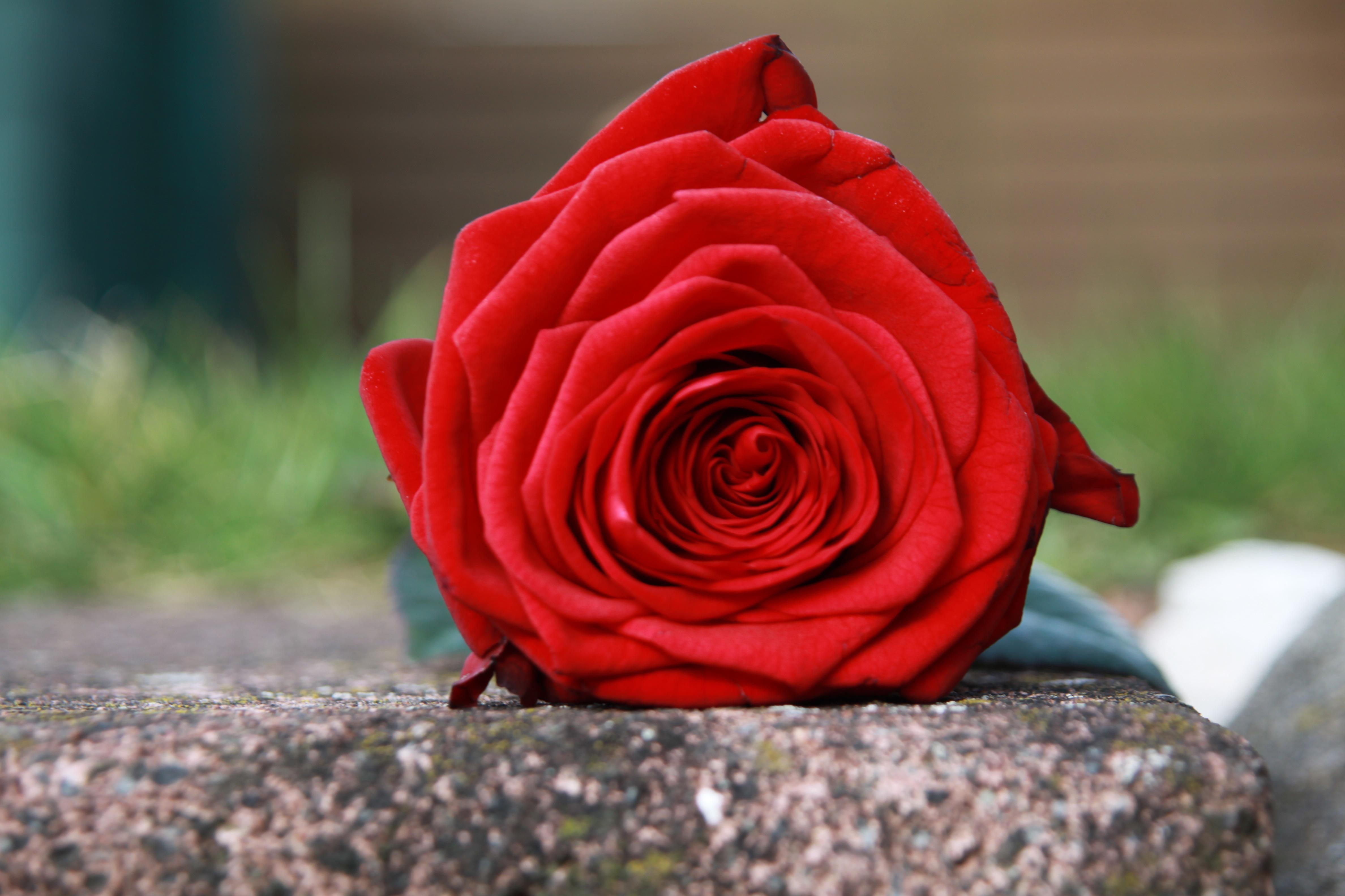 Stein Rose: Free Images : Flower, Petal, Stone, Red, Pink, Velvet