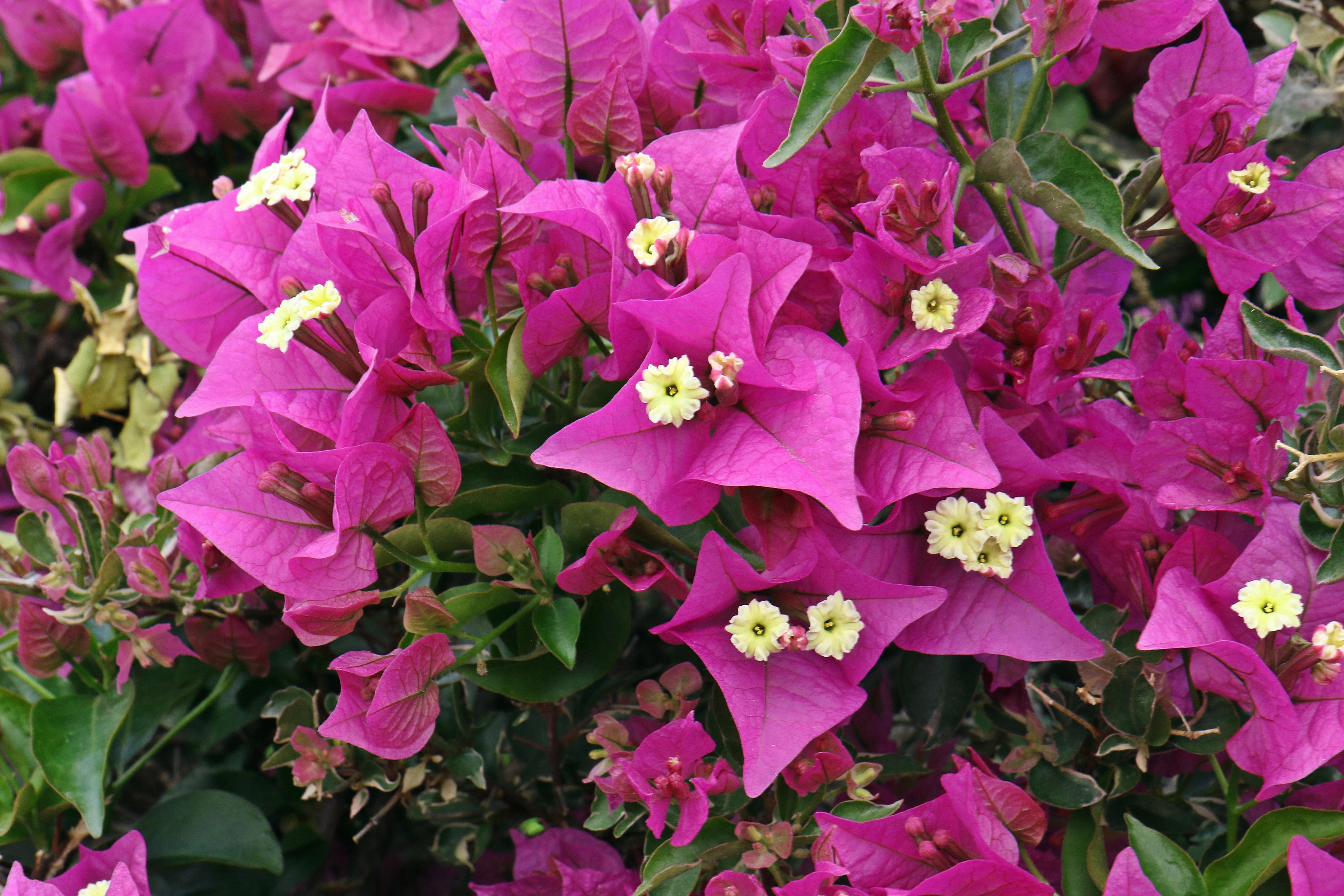 Free Images Petal Botany Flora Spain Beauty Tenerife