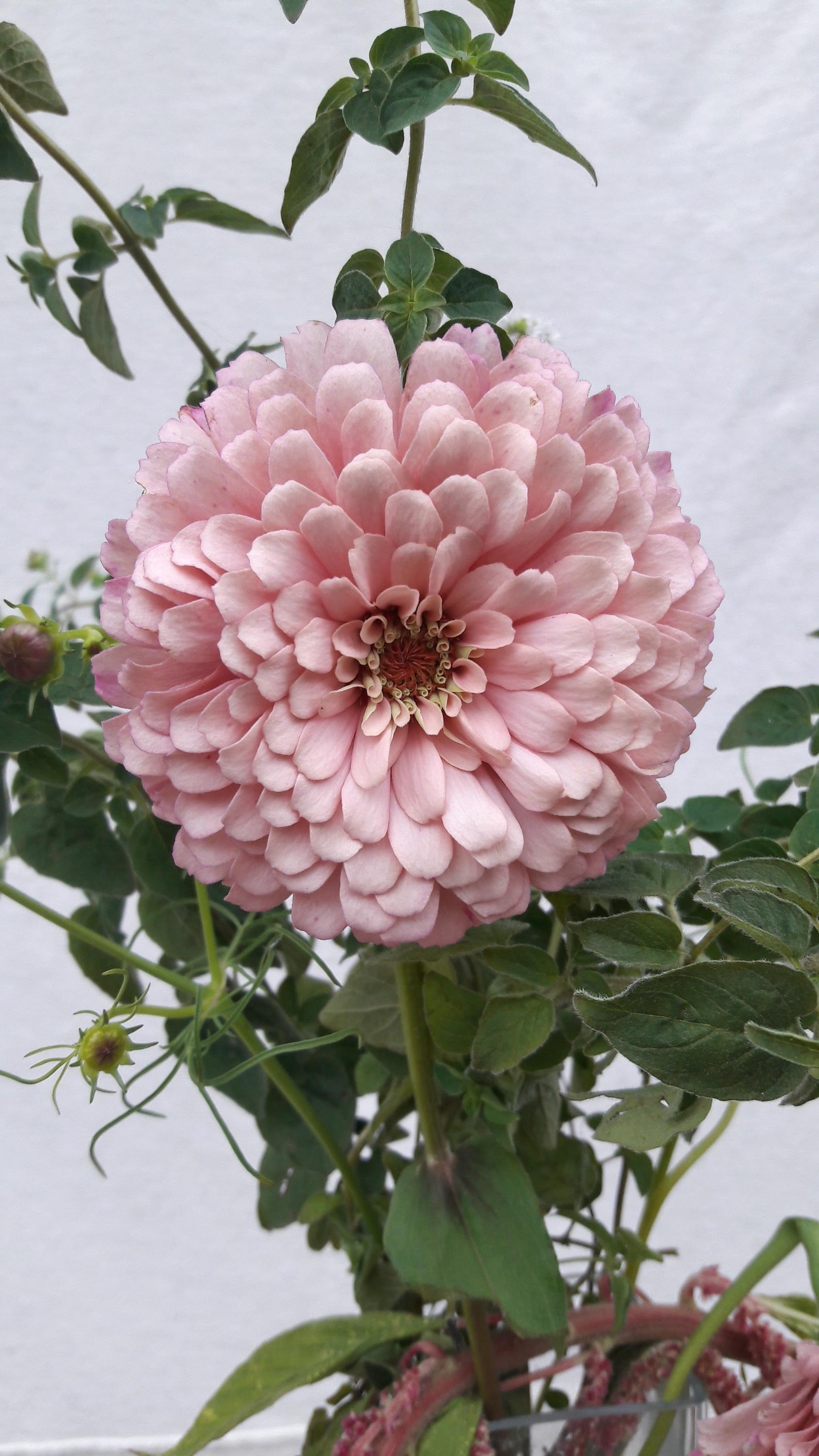 Immagini belle fiore petalo estate botanica rosa - Dalia pianta ...