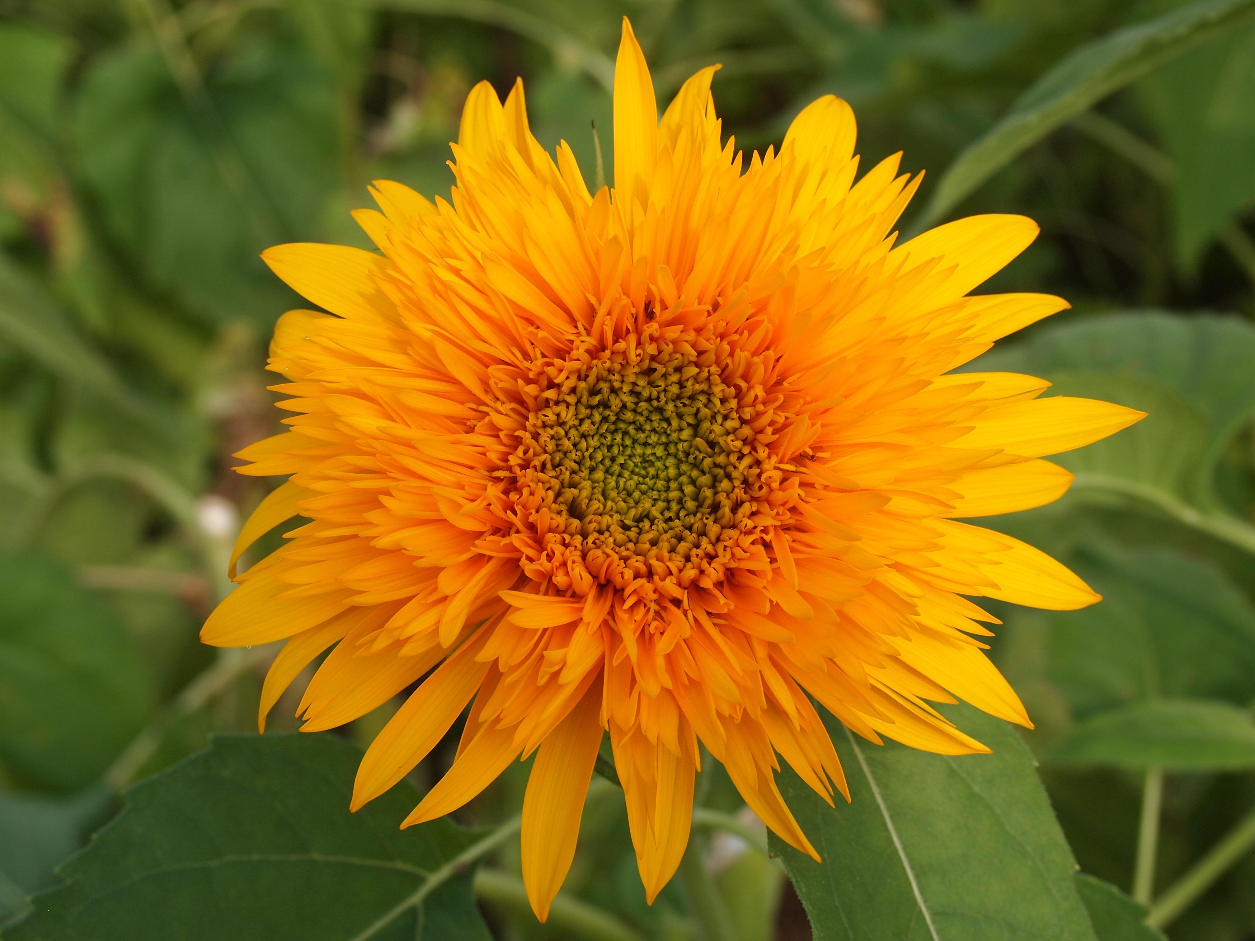 kostenlose foto blume bl tenblatt sommer botanik gelb garten flora sonnenblume. Black Bedroom Furniture Sets. Home Design Ideas