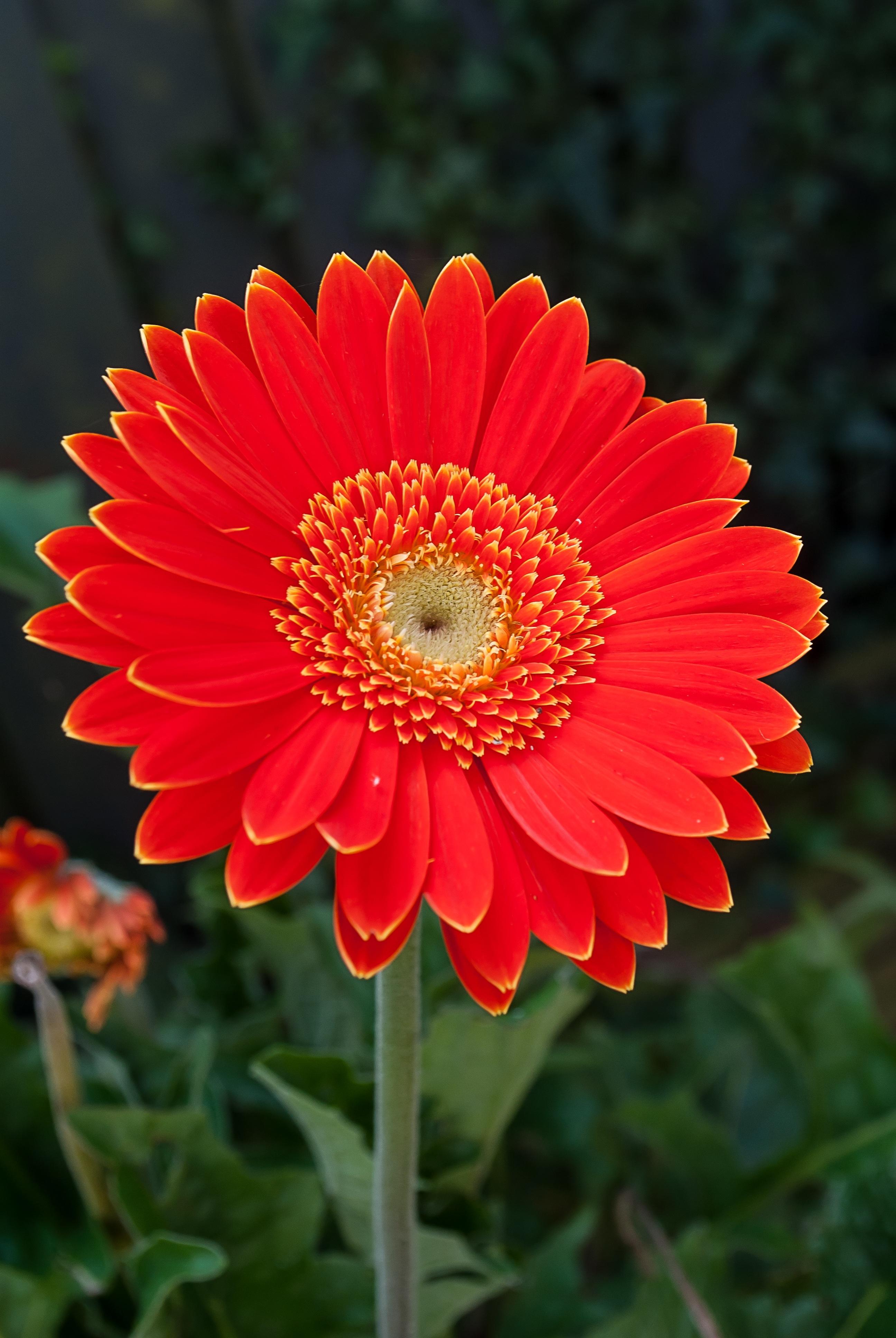 Gambar Menanam Daun Bunga Musim Panas Bunga Aster Merah Warna Botani Flora Gerbera Taman Bunga Fotografi Makro Tanaman Berbunga Keluarga Daisy City Car Asterales Tanaman Tahunan Batang Tanaman Tanaman Tanah 2592x3872