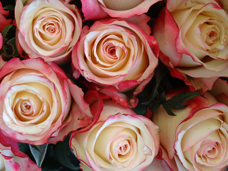 Kostenlose Foto Blume Blutenblatt Sommer Liebe Rot Gelb