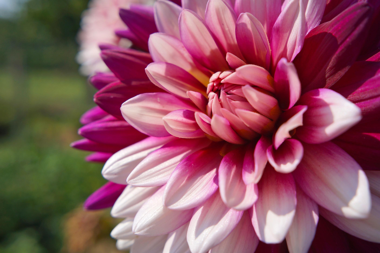 Images Gratuites Fleur Petale Ete Flore Dahlia