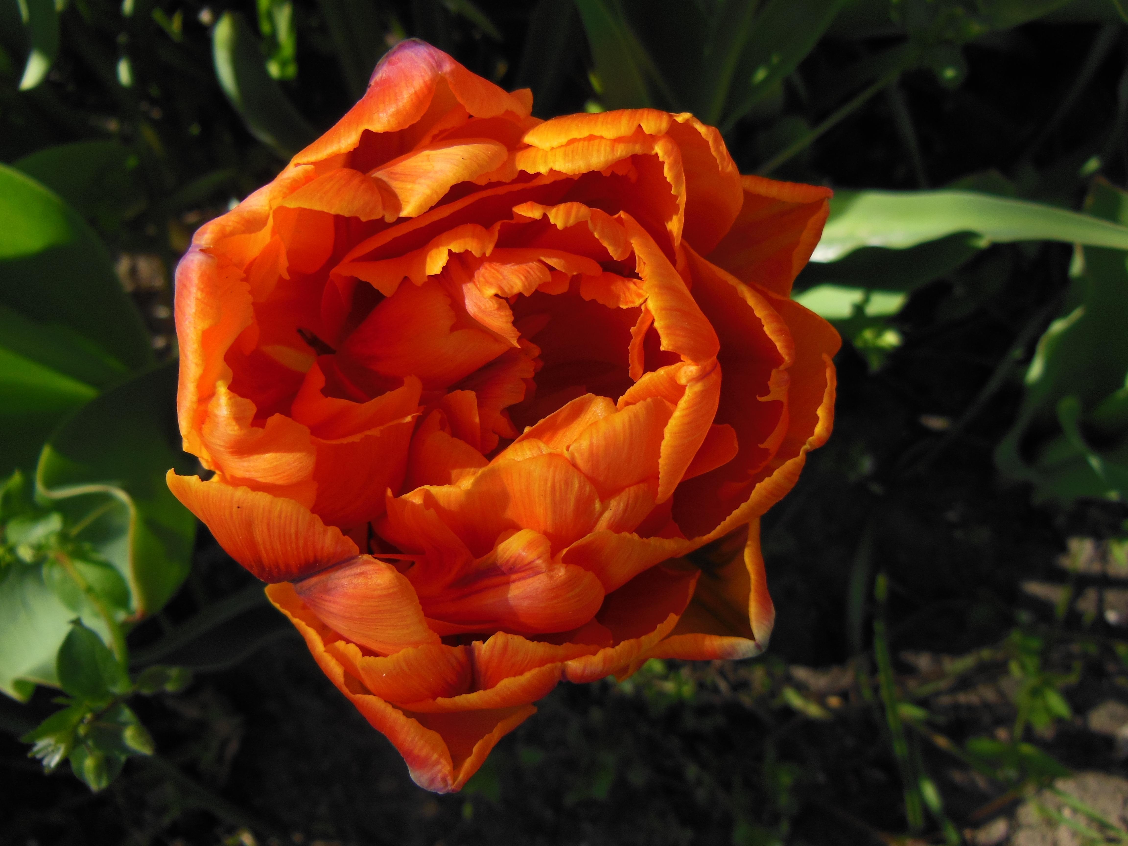 Free Images : flower, petal, summer, tulip, orange, spring, green ...
